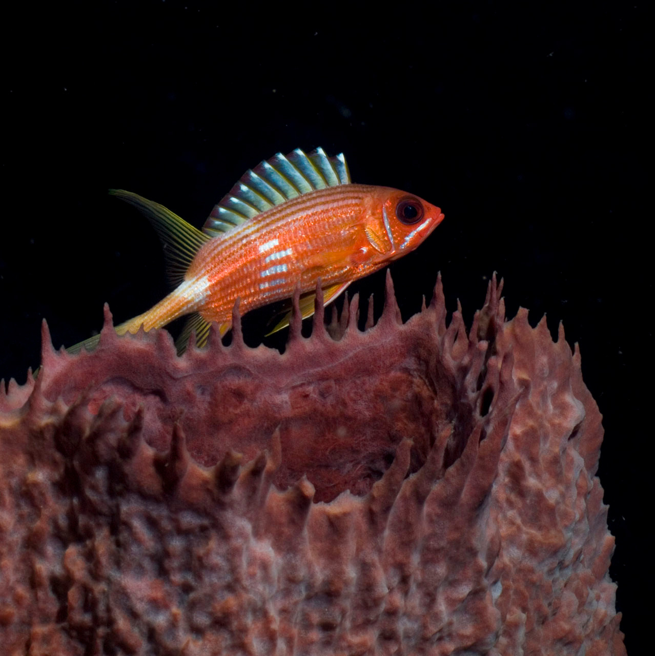 Squirrelfish, Speyside, Tobago [Trinidad and Tobago, 2009]