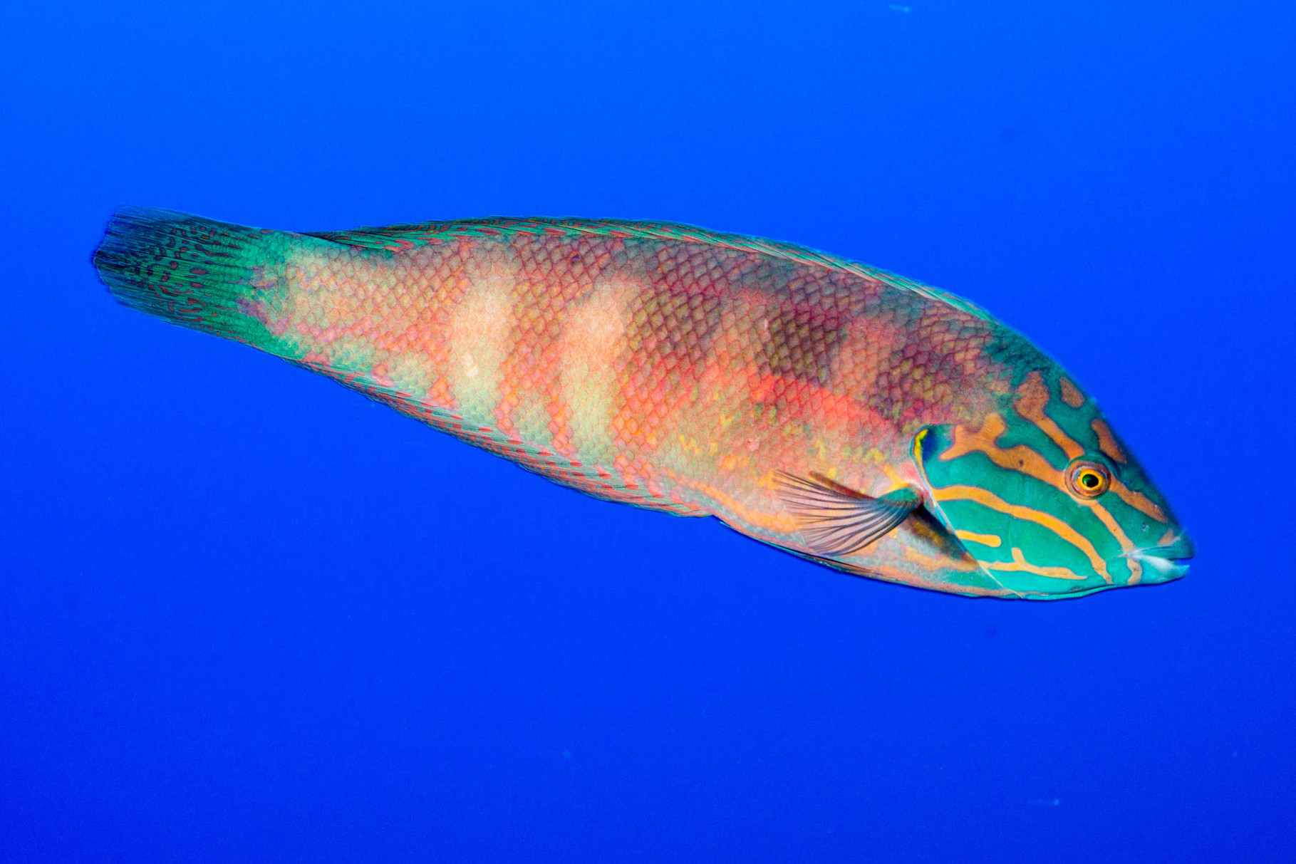 Wrasse (Thalassoma lutescens)