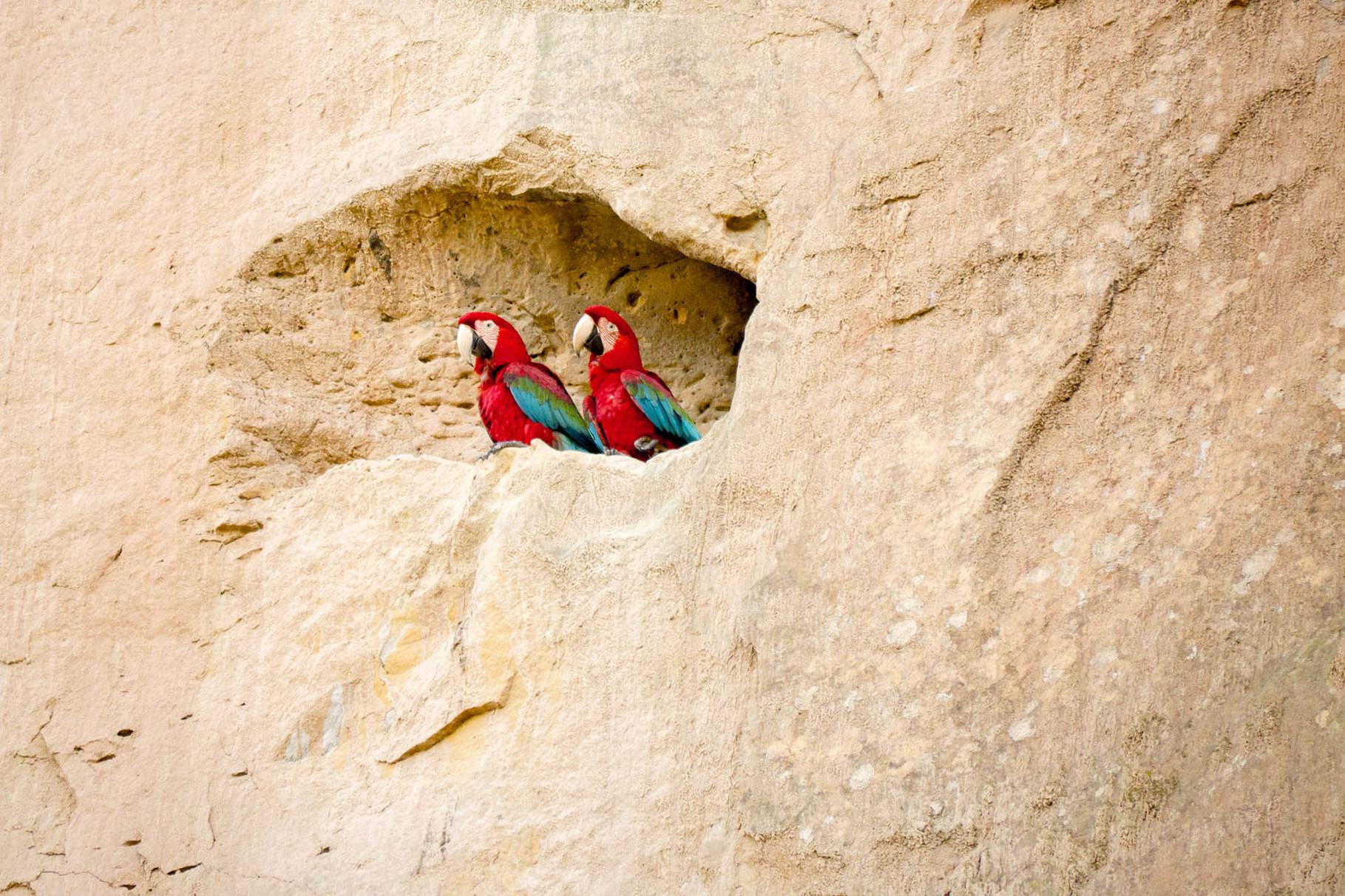 Nesting macaws at a cliff, protected from most predators, Madidi Nationalpark [Bolivia, 2014]