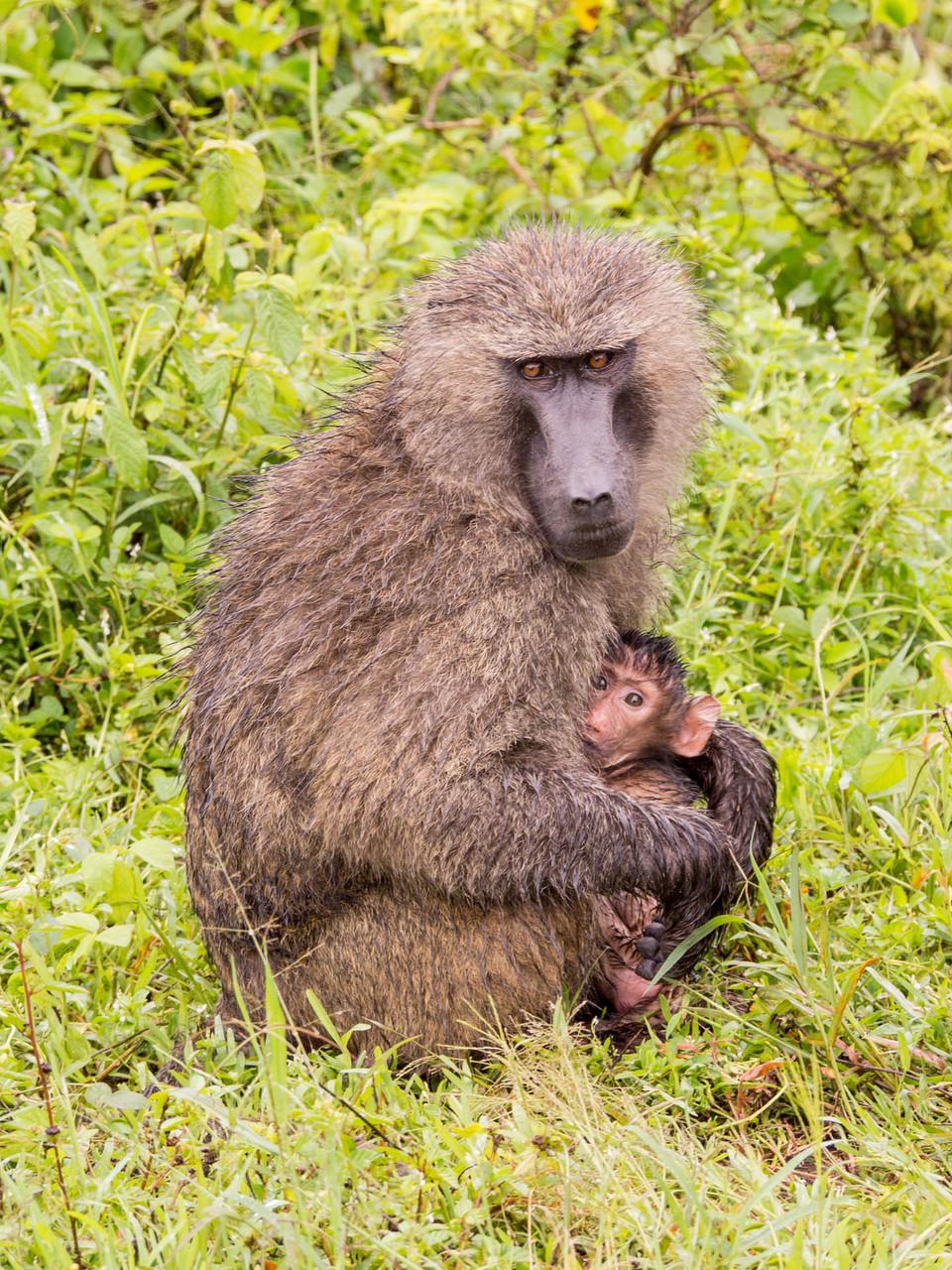 Baboon [Serengeti, Tanzania, 2015]