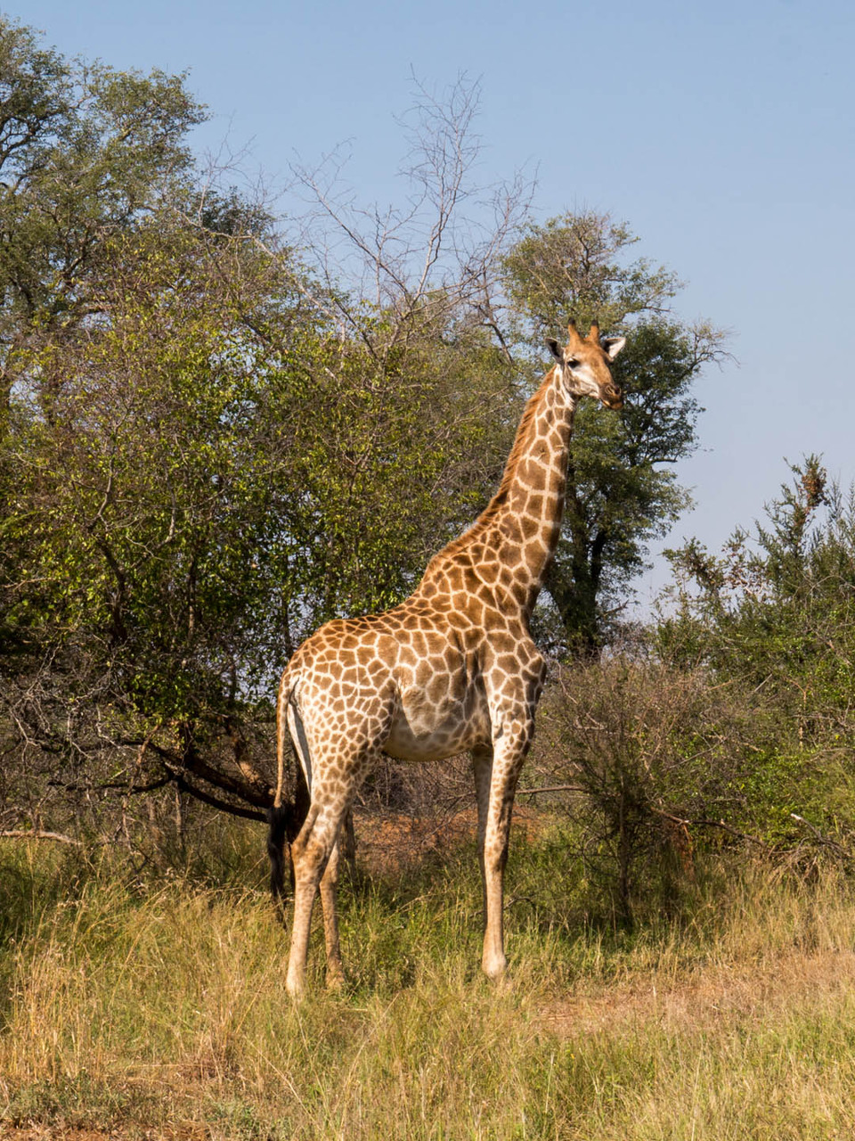 Giraffe [Kruger Park, South Africa, 2015]