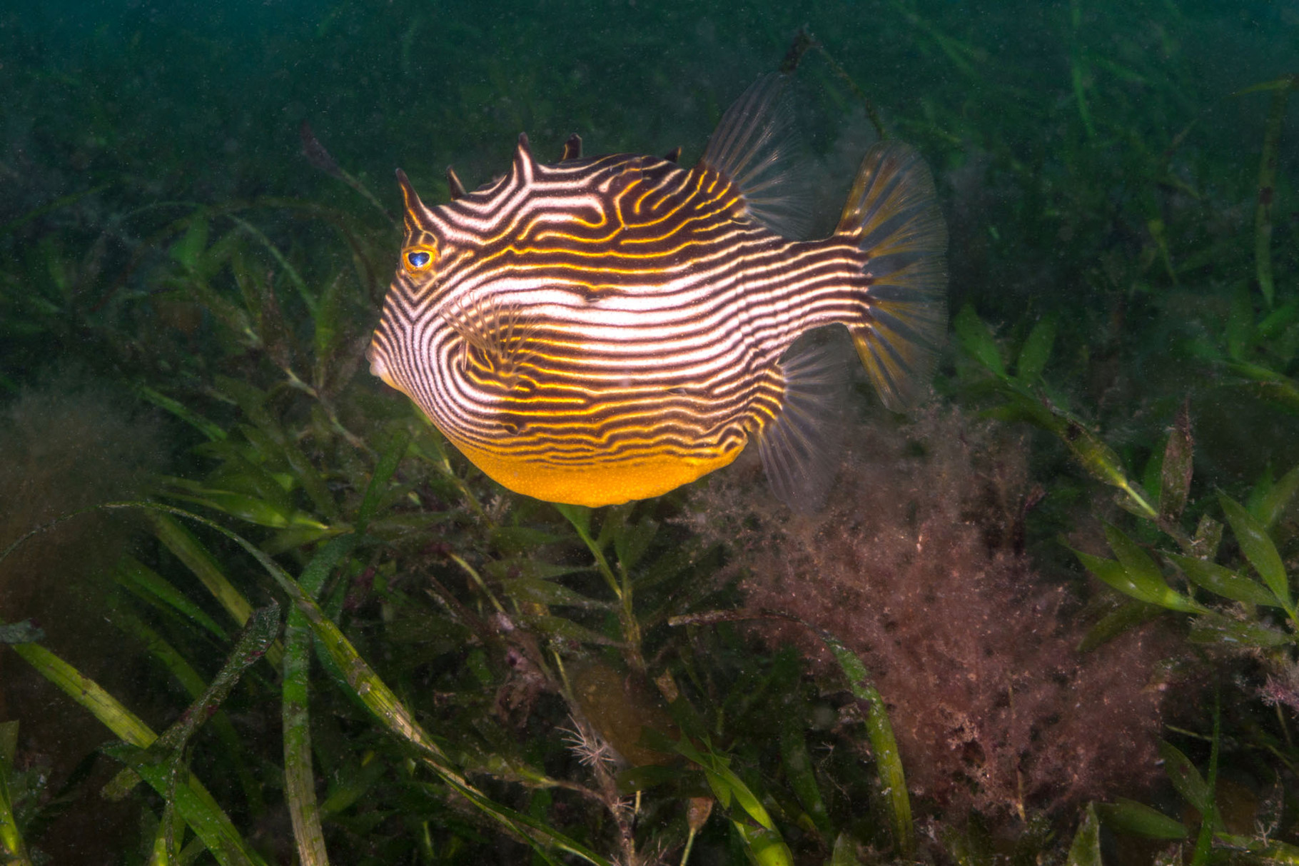 Female Shaw´s Cowfish, Rapid Bay