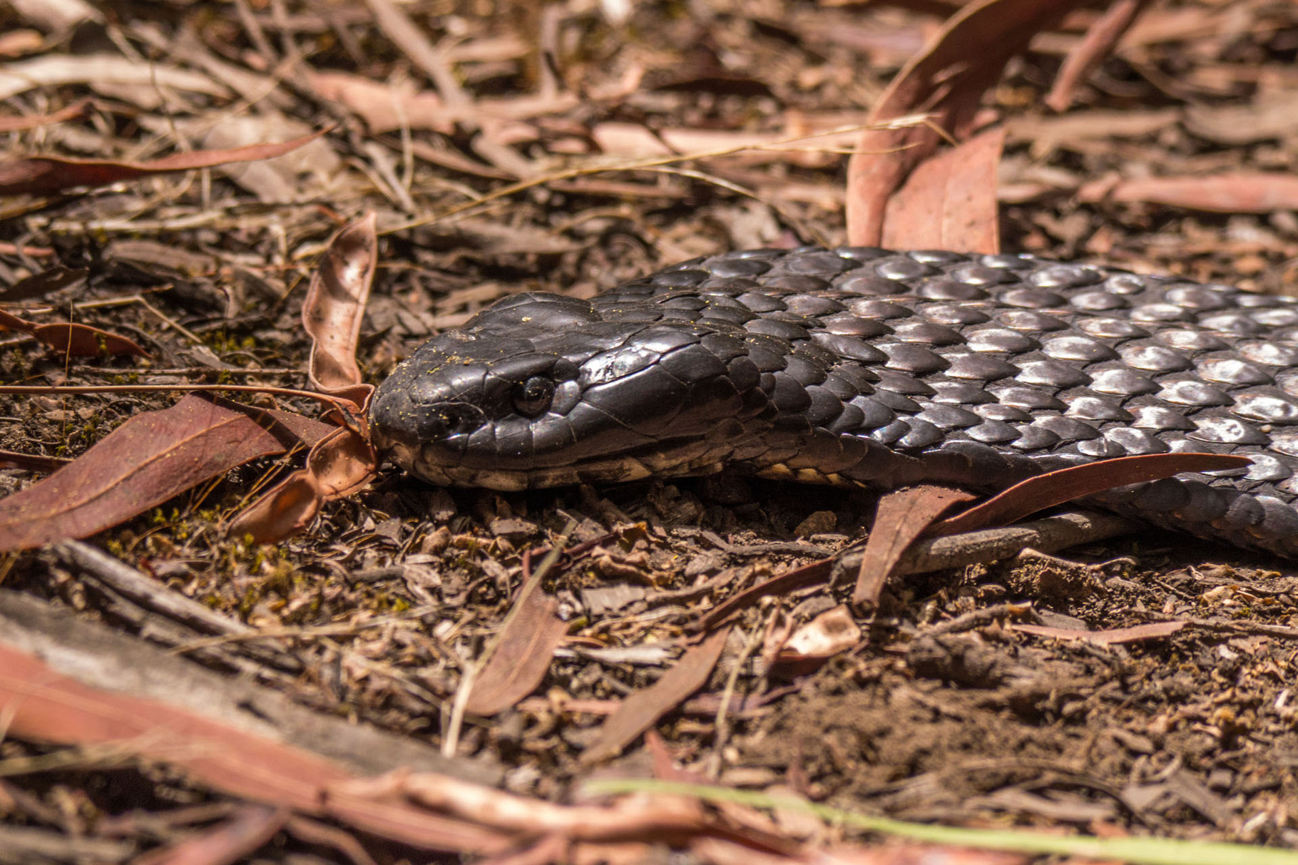 Snake, Flinders Chase National Park, Kangaroo Island