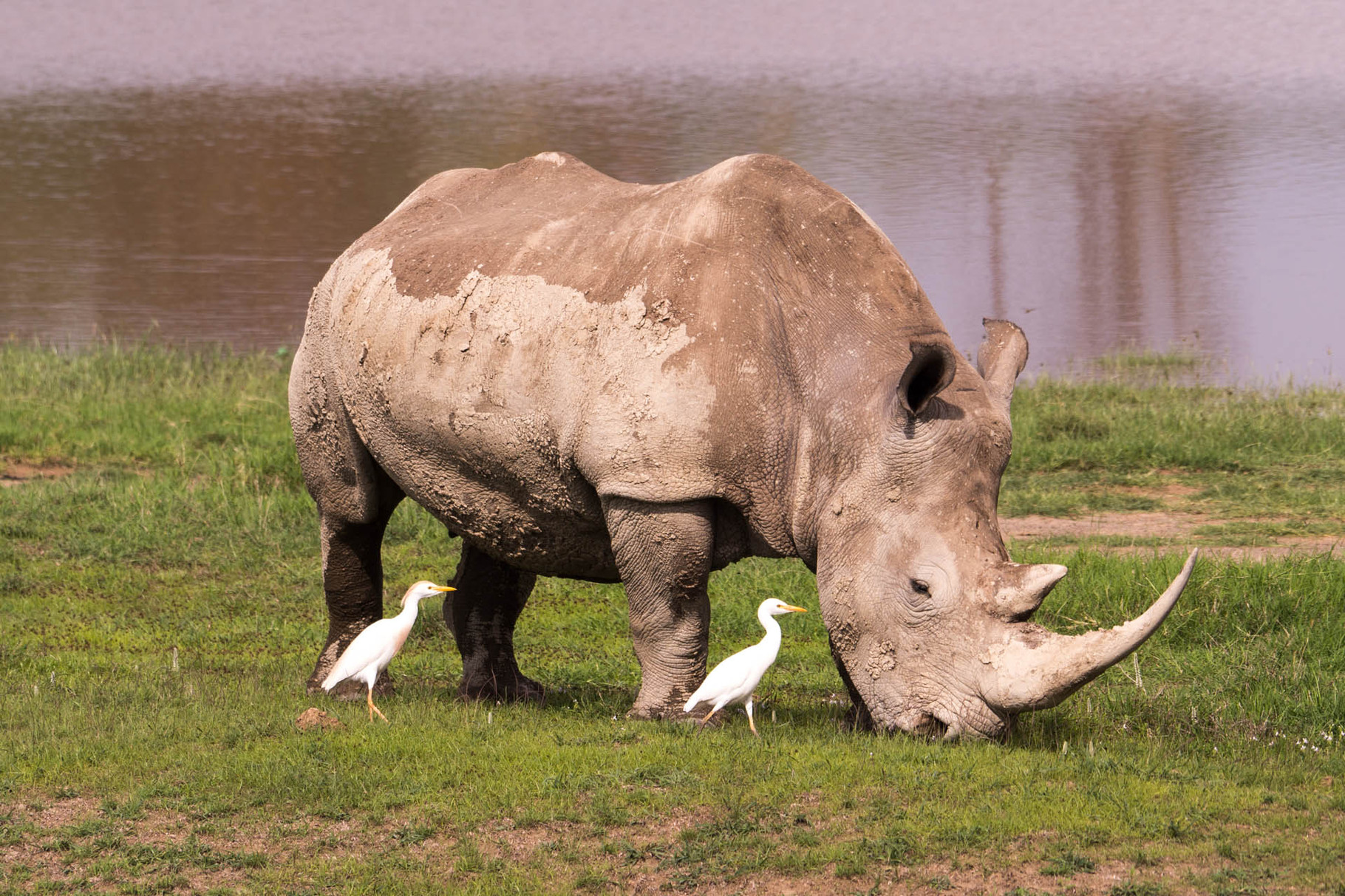 White rhino and egrets, Nakuru National park, Kenya