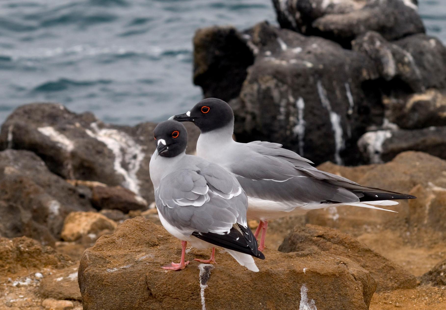 Swallow-tailed Gull [Galapagos, Ecuador, 2009]