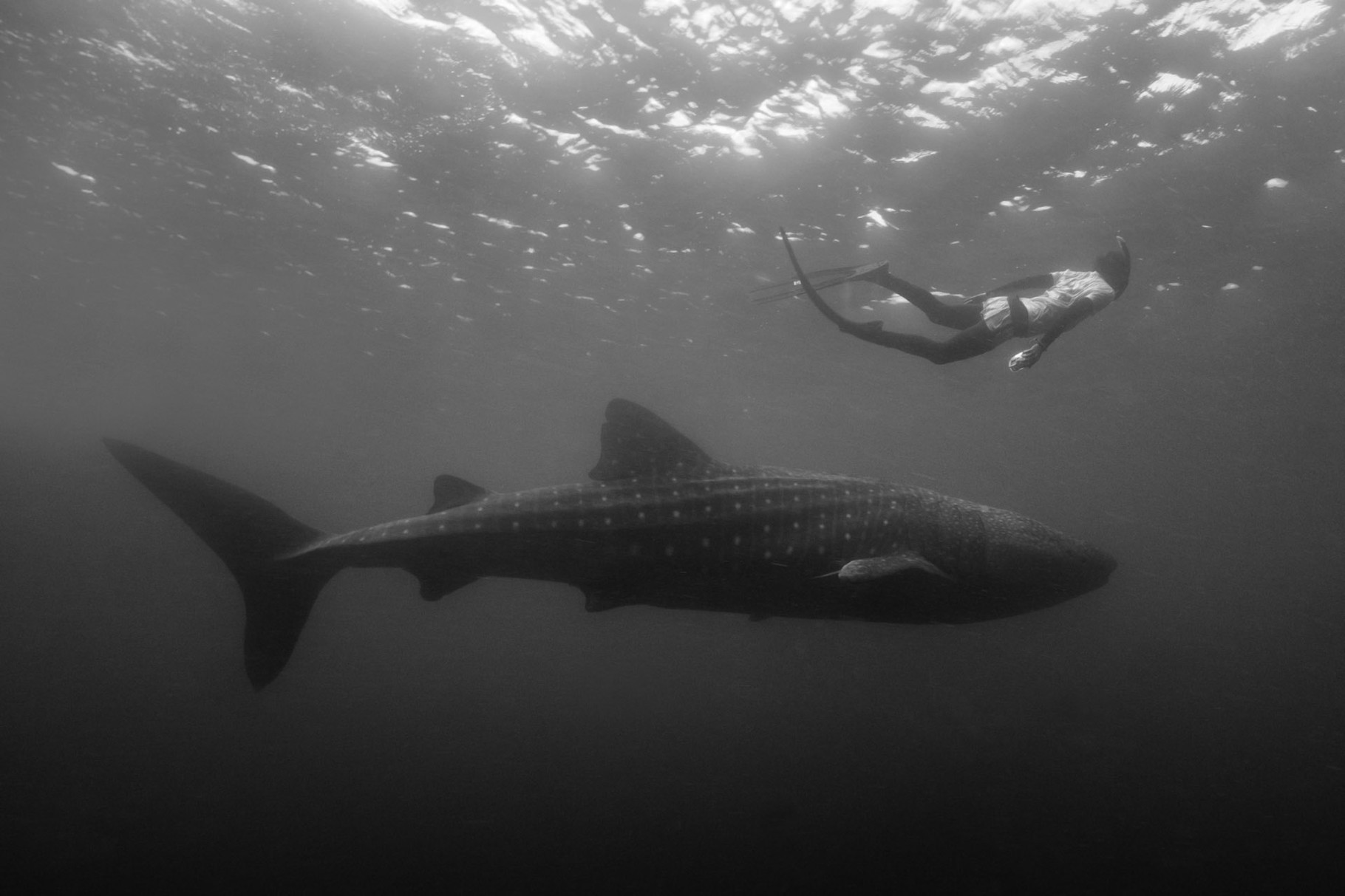 Whale shark with free diver