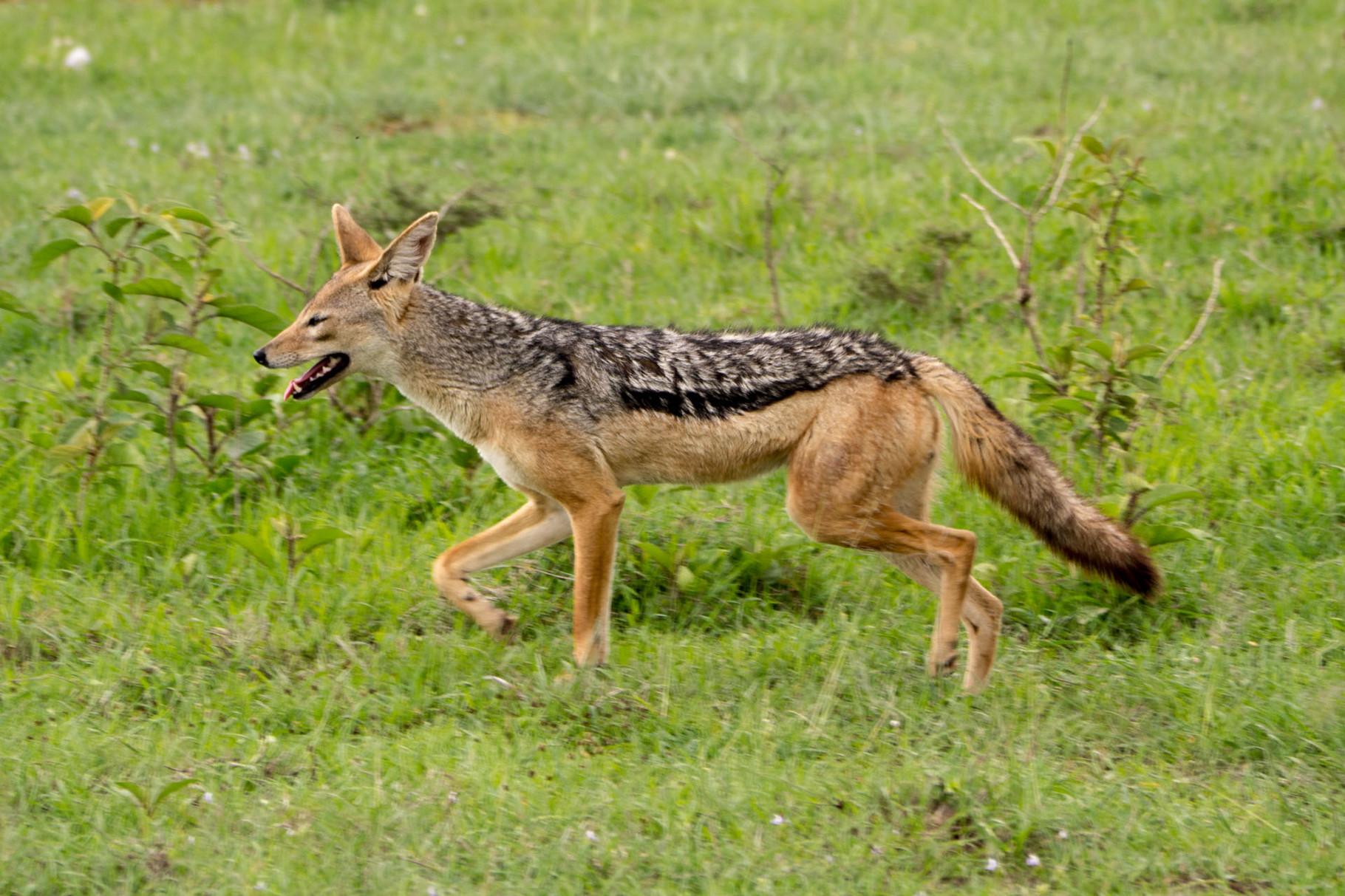 Jackal, Nakuru National park, Kenya