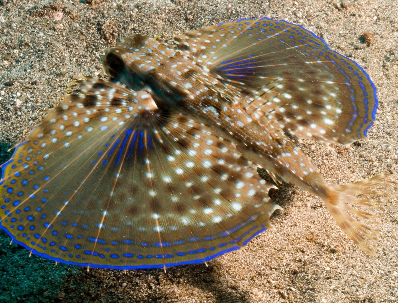 Flying gurnard, Kingston [St. Vincent and the Grenadines, 2009]