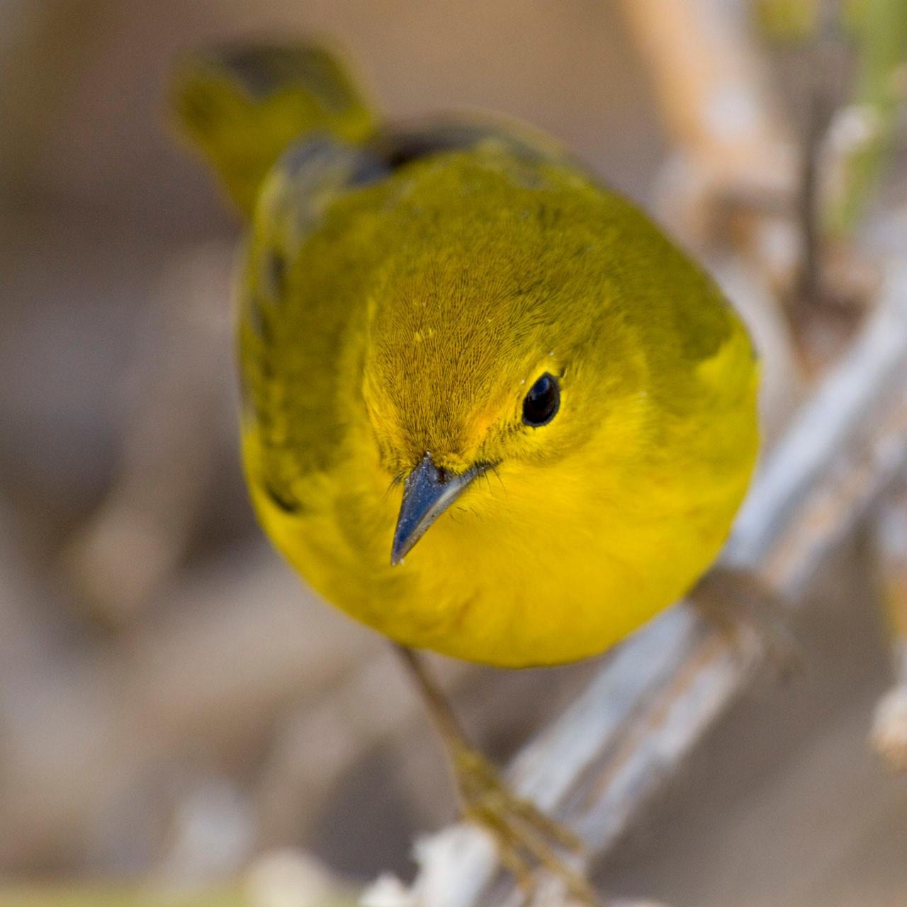 Yellow warbler [Galapagos, Ecuador, 2009]