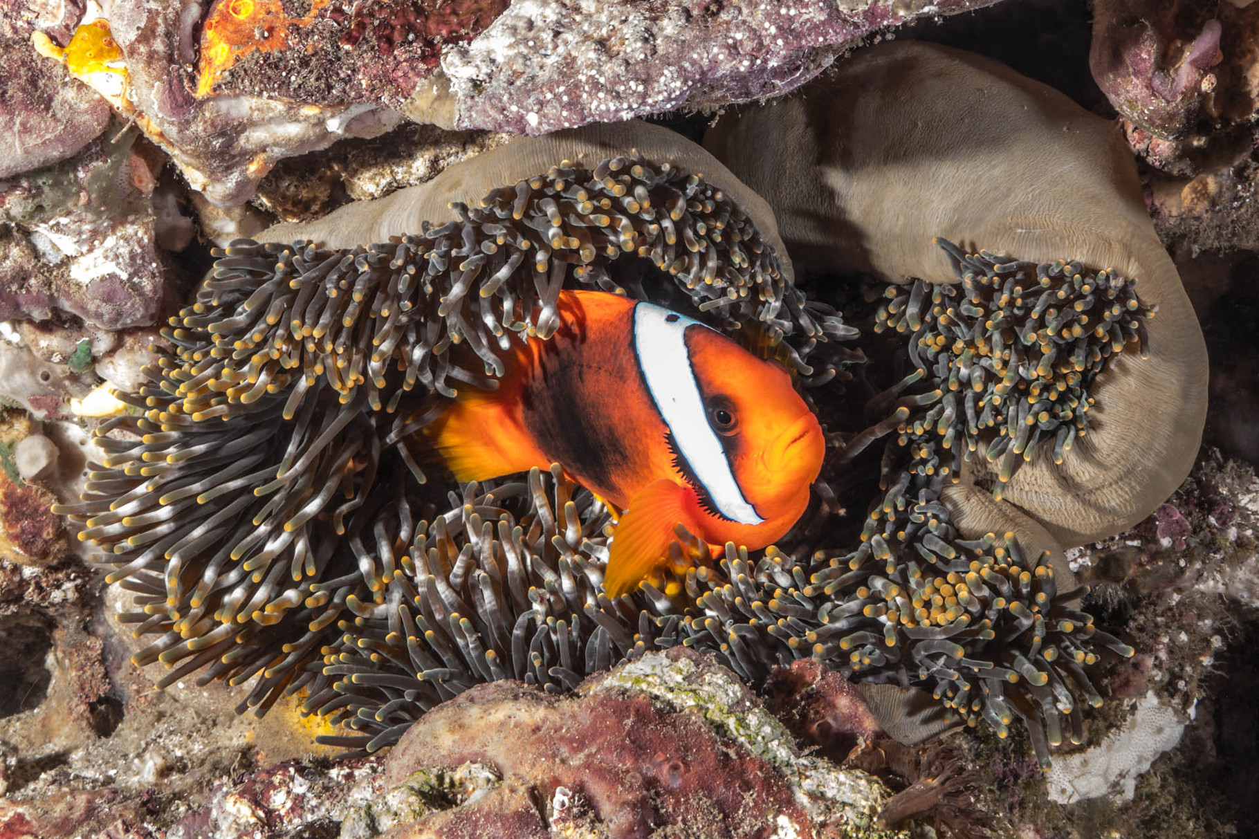 Female Tomato anemonefish (Amphiprion frenatus), Green Island