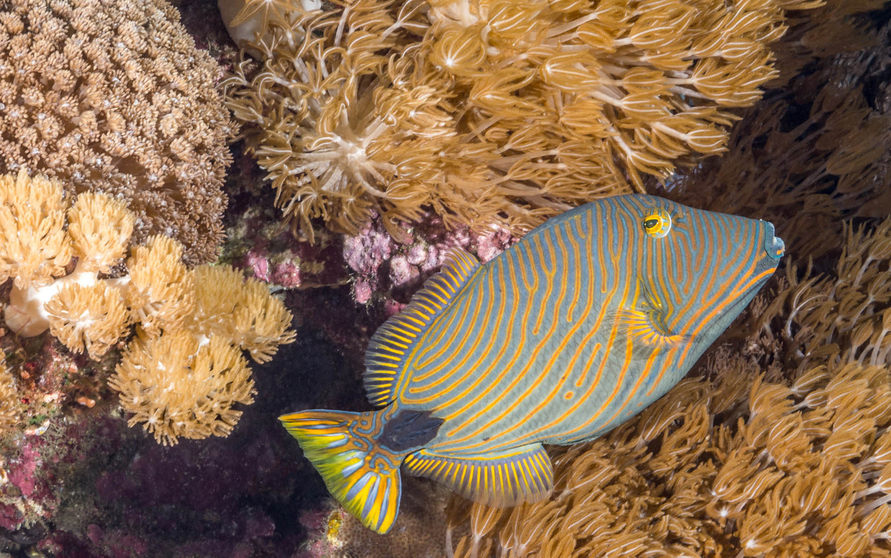 Orange lined triggerfish (Balistapus undulatus), Green Island