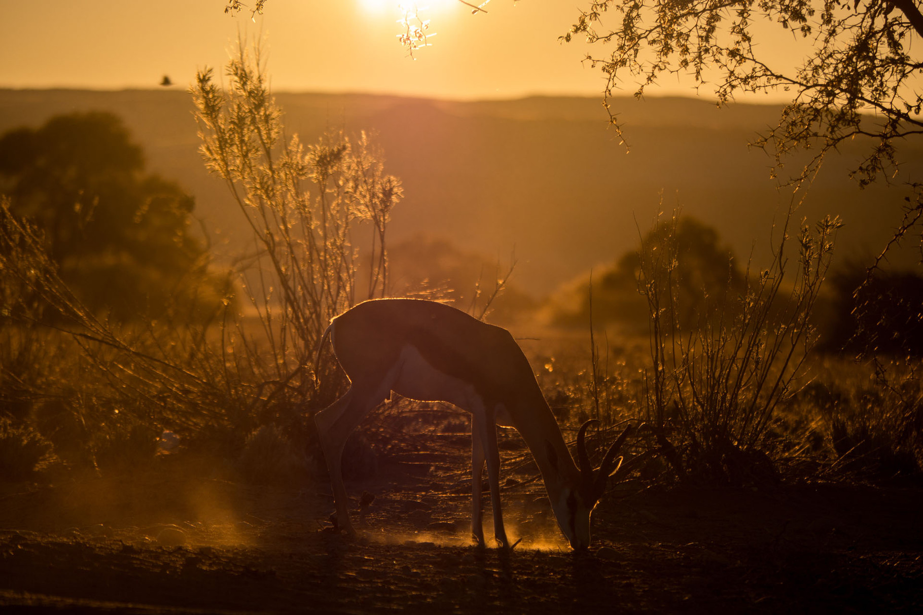 Grazing gazelle at sunset