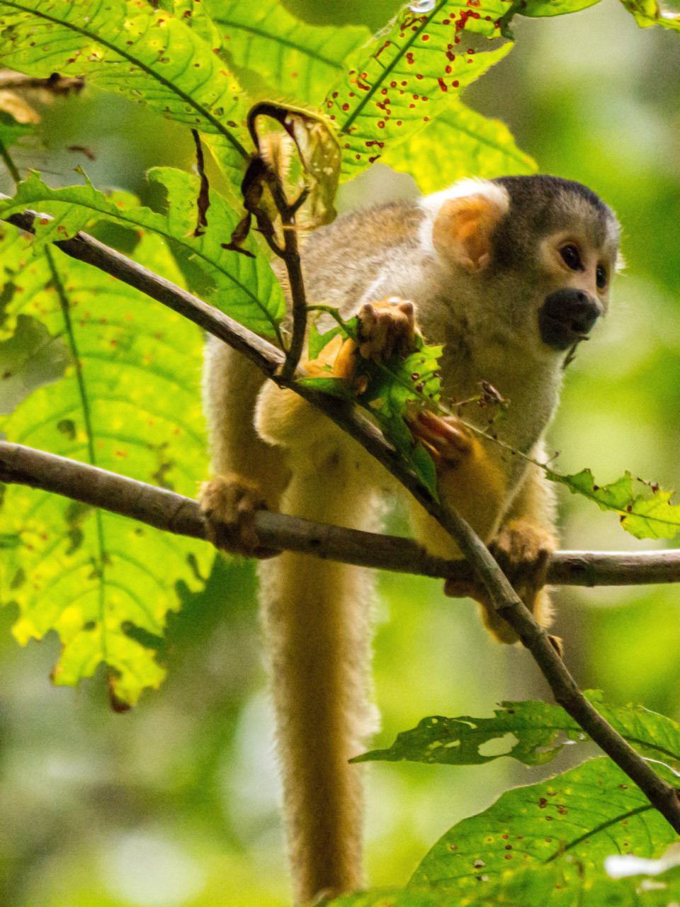 Squirrel monkey, Madidi Nationalpark