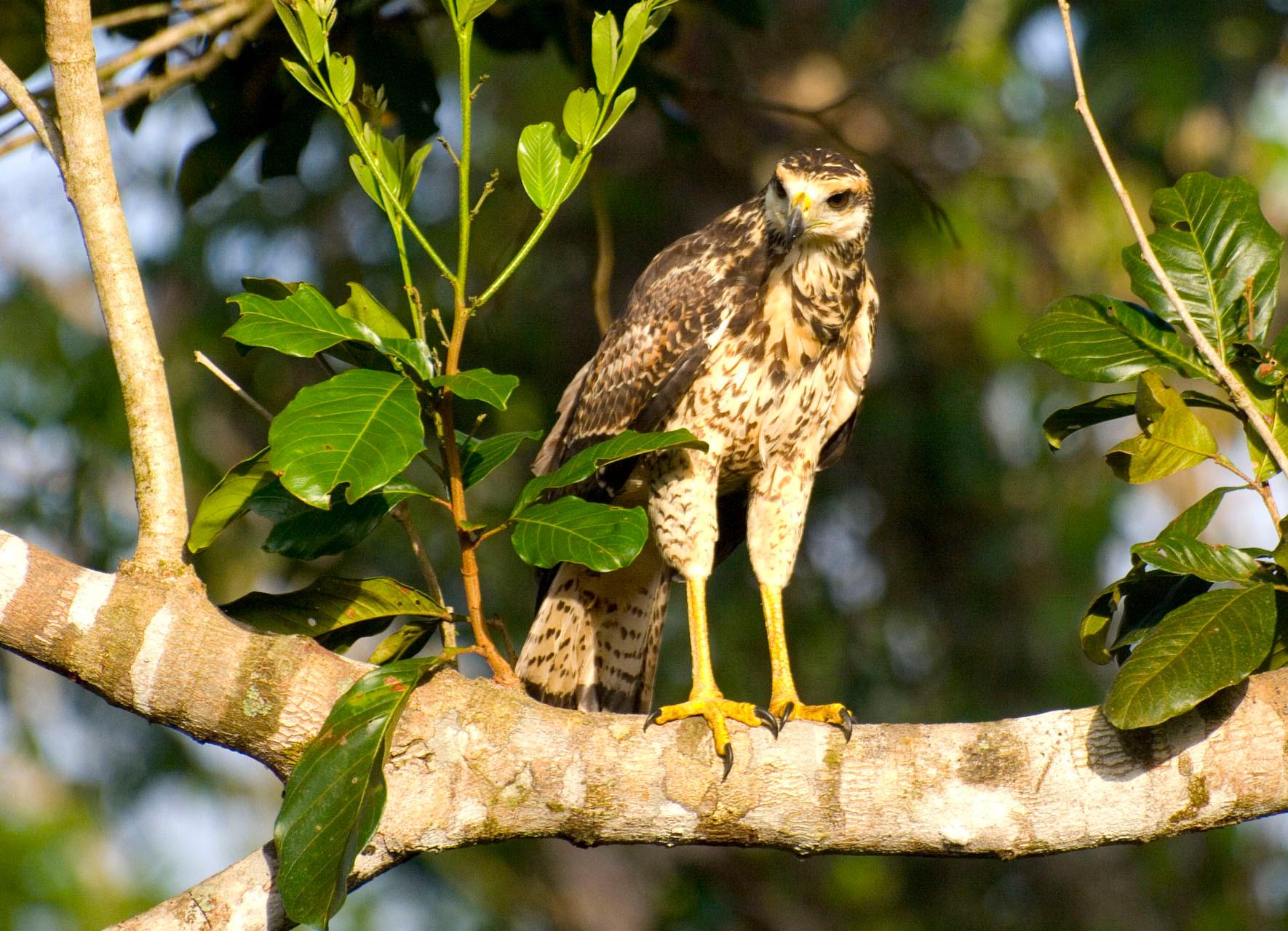 Hawk [Suriname, 2009]