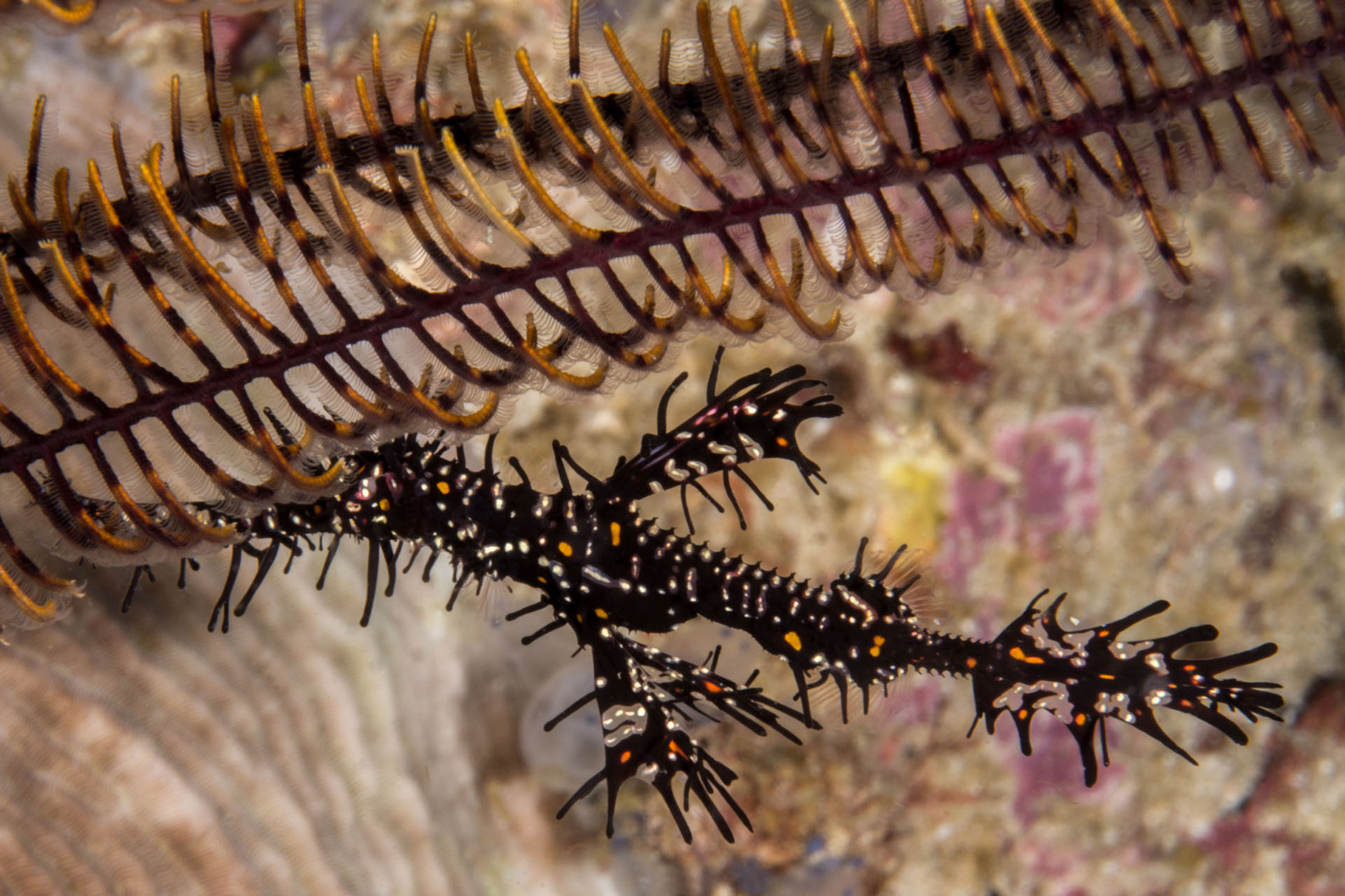 Ornate ghost pipefish (Solenostomus paradoxus)