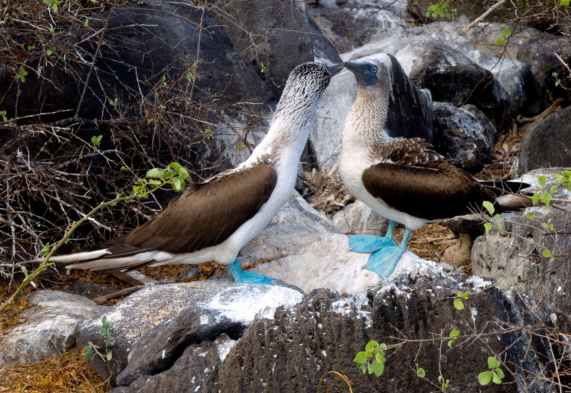 Blue footed booby [Galapagos, Ecuador, 2009]