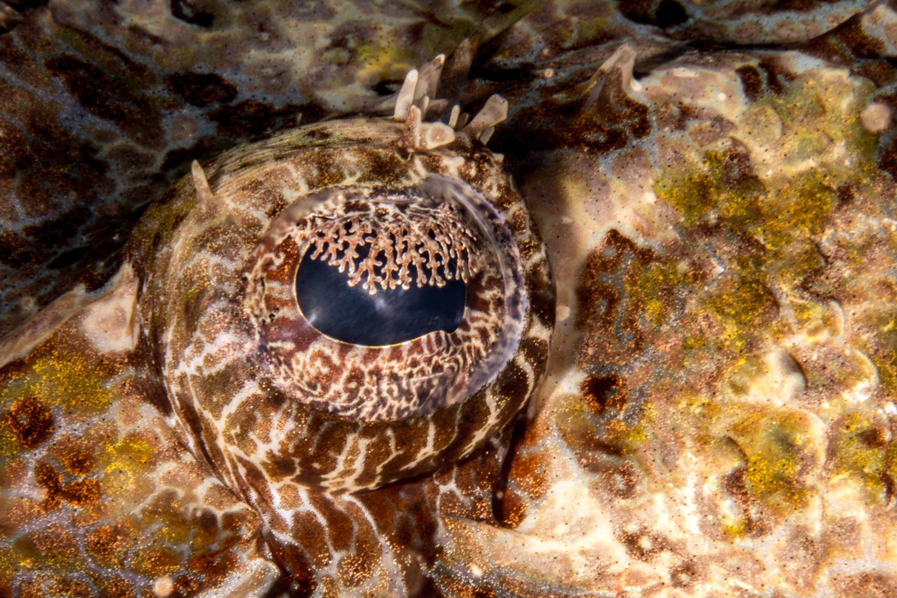 Eye of a crocodile fish, Hienghene