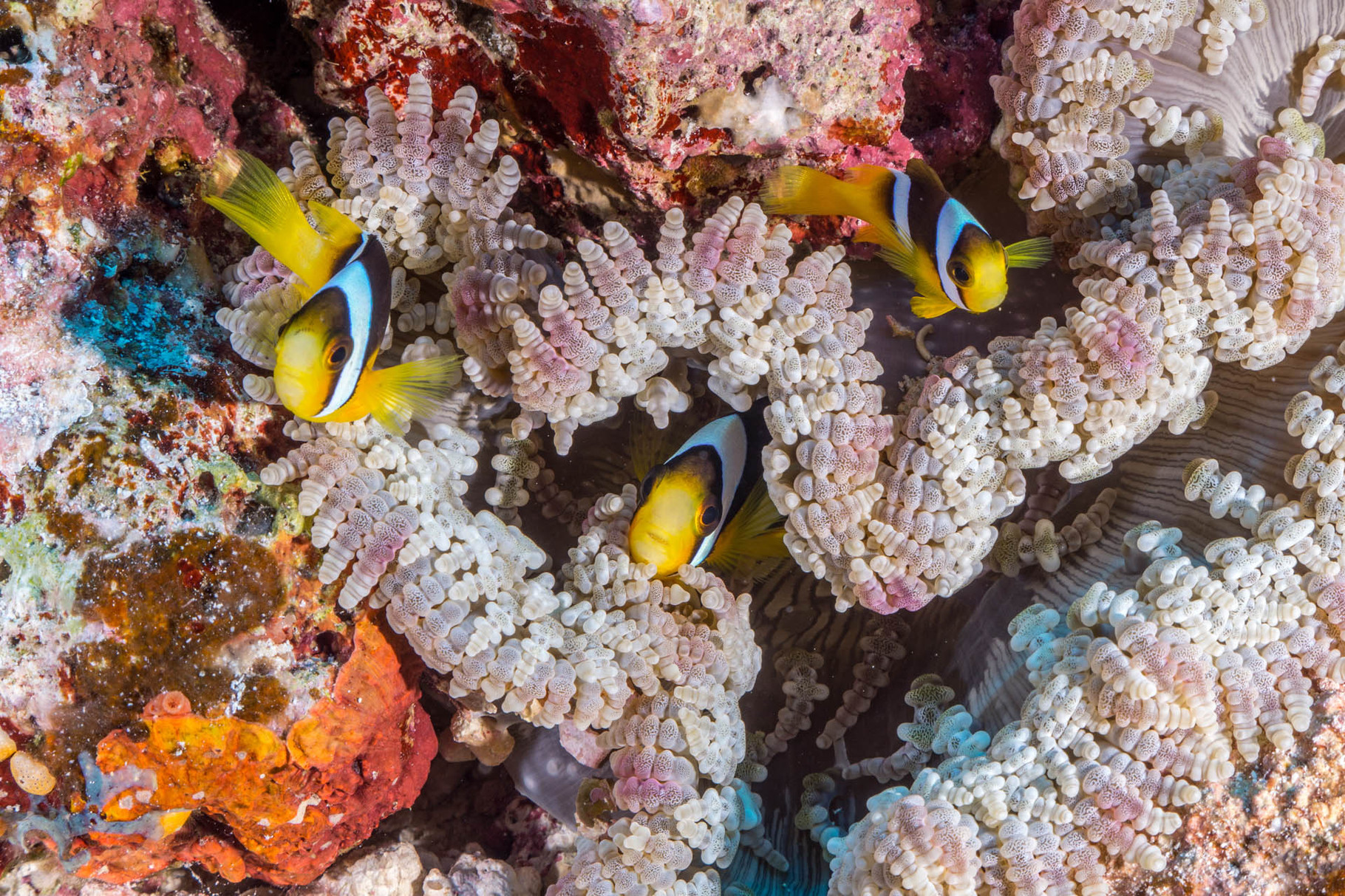 Anemone fishes, Lifou