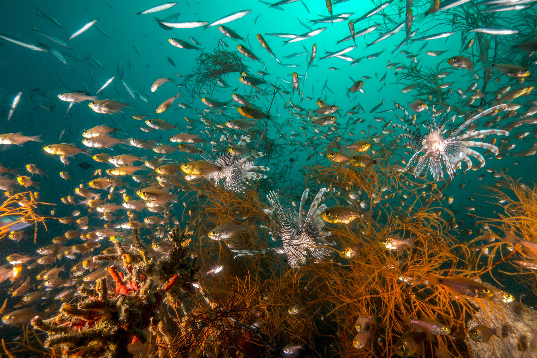 Three hunting lionfishes, schools of glas fishes and juvenile Baracudas at Kyogo Maru Wreck, Coron