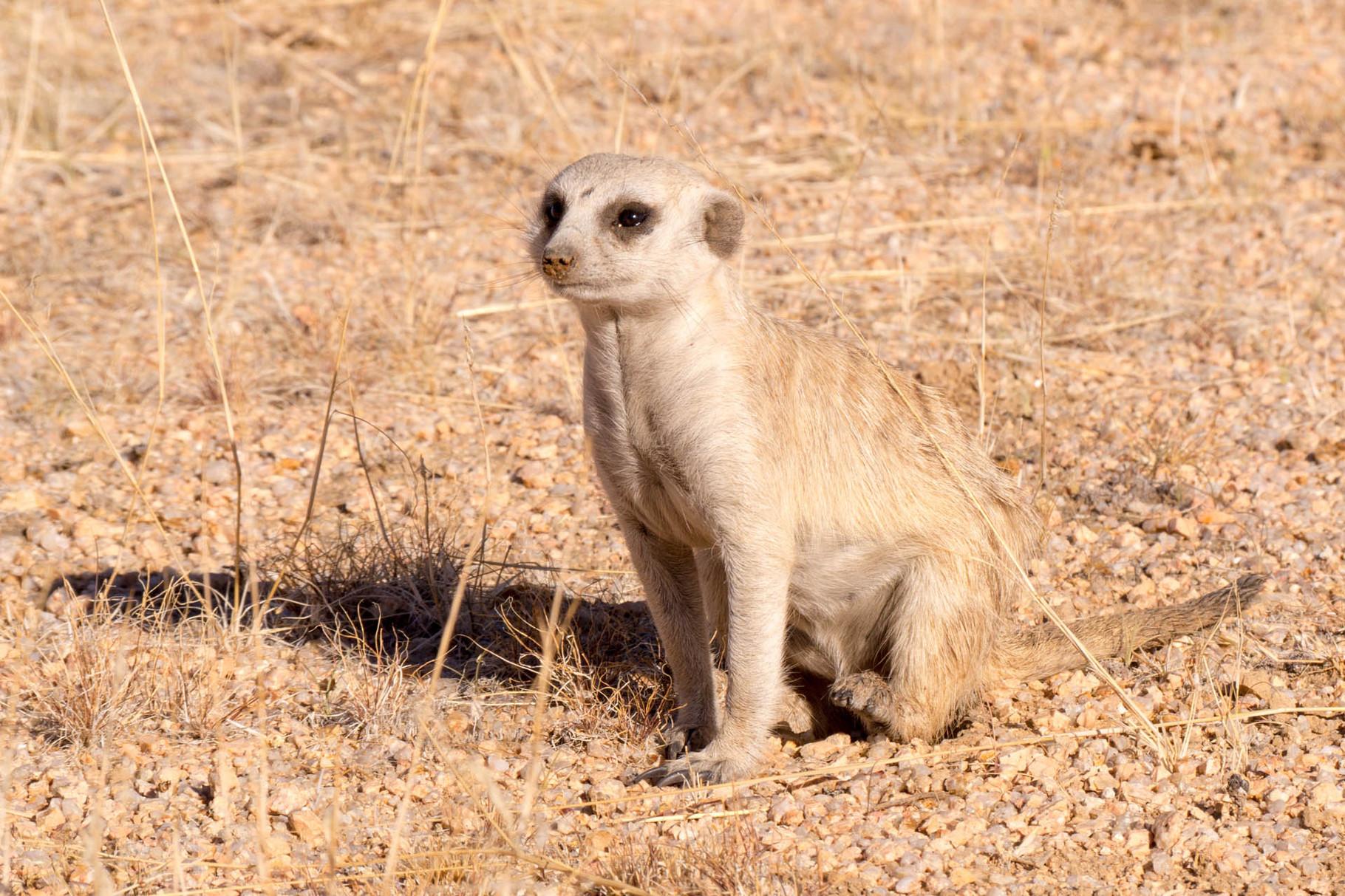 Meerkat, Spitzkoppe