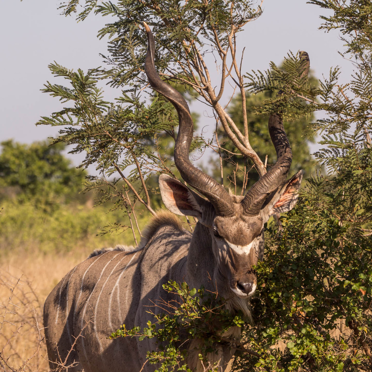 Male Kudu [Kruger Park, South Africa, 2015]