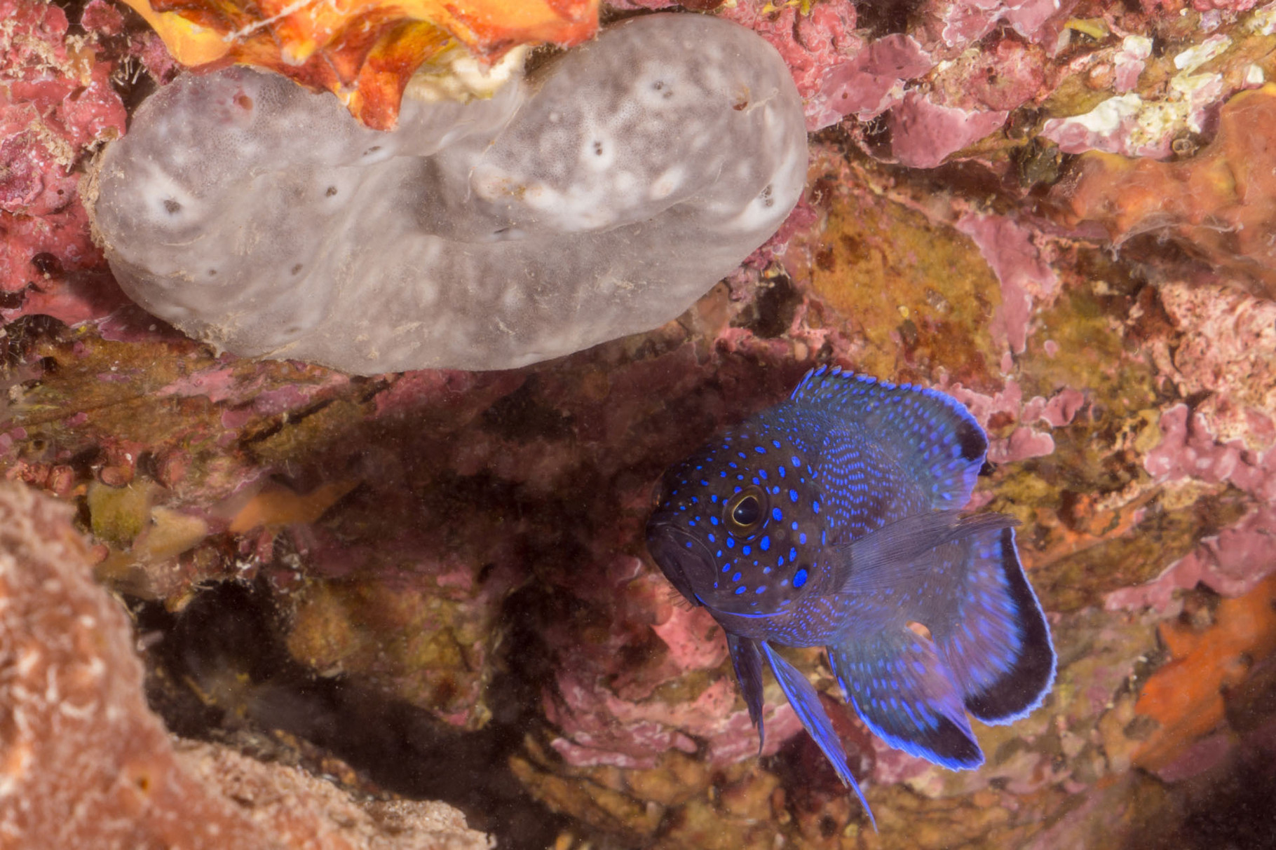 Southern Blue Devil, Second Bay