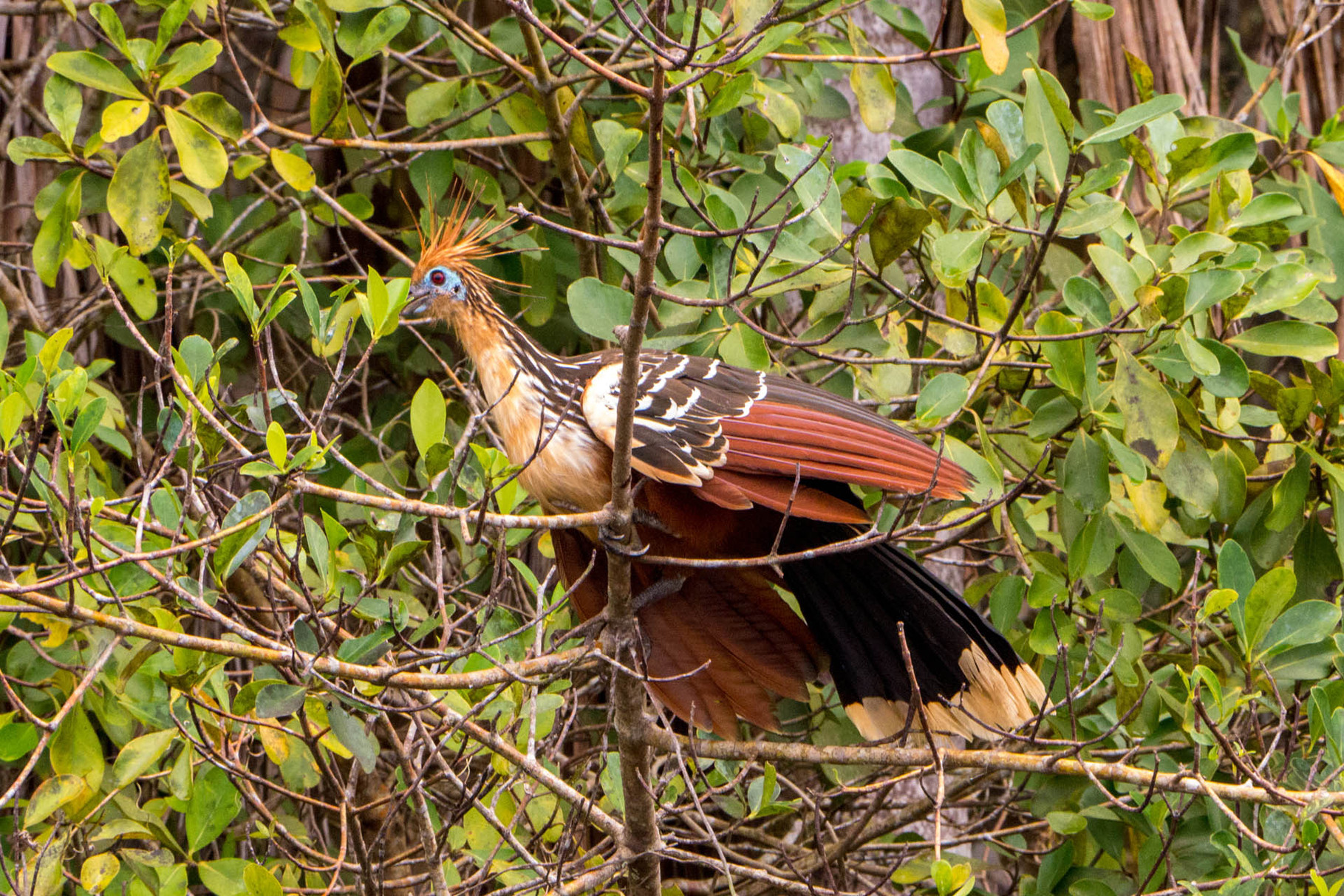 Hoatzin, Madidi Nationalpark