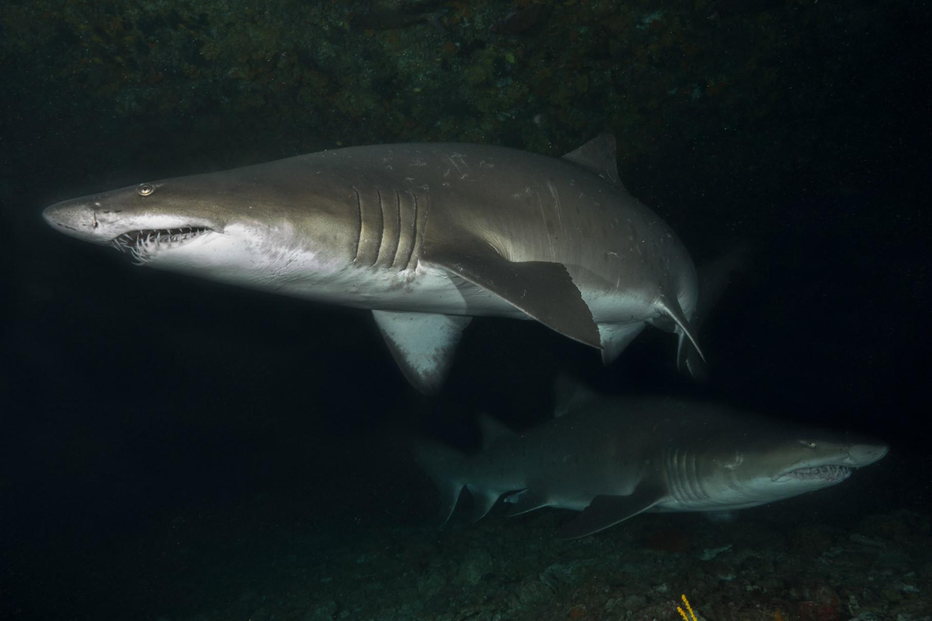 Raggies (Ragged tooth shark or Sandtiger shark)