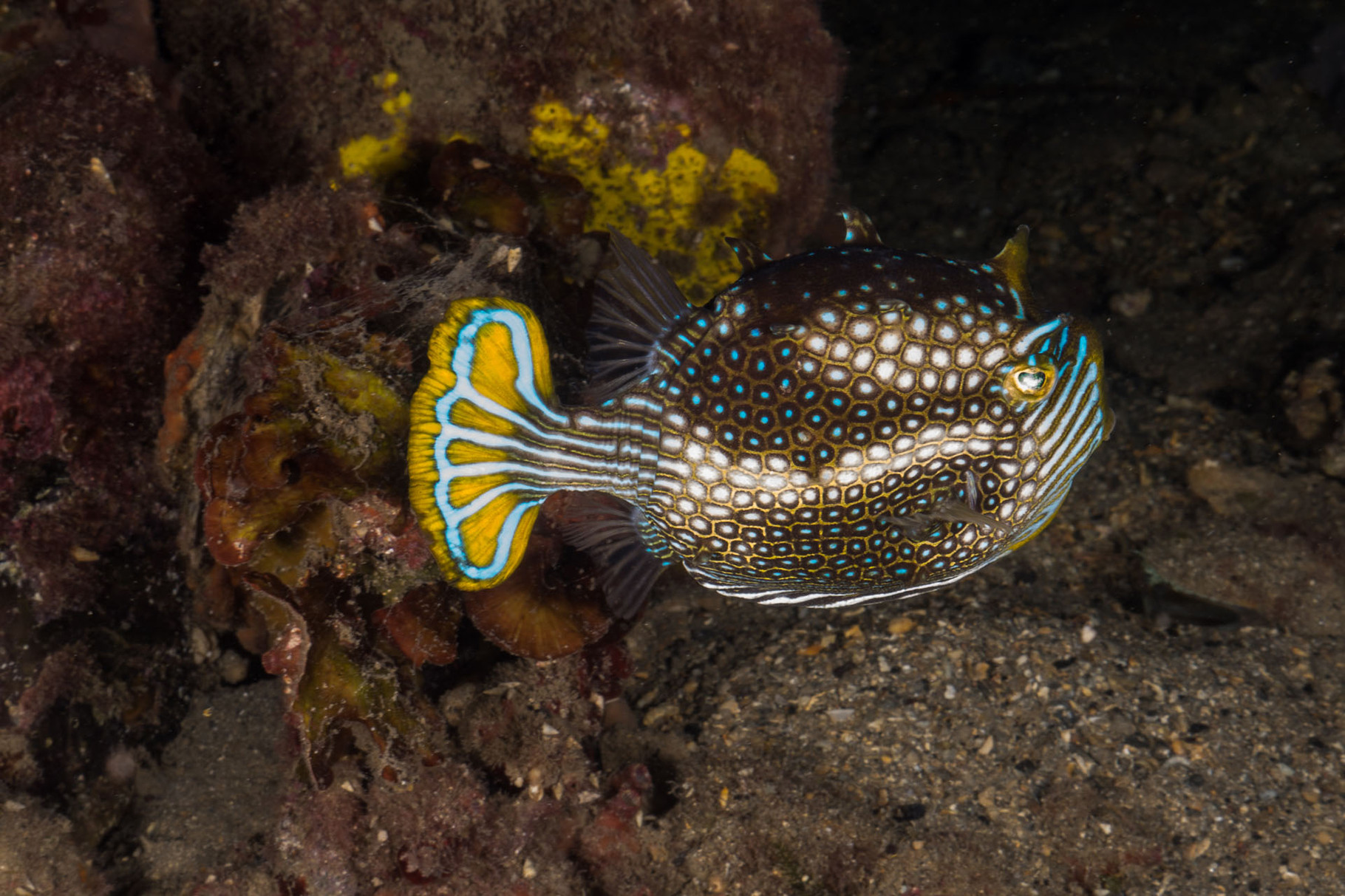 Male Shaw´s Cowfish, Kingscote Jetty, Kangaroo Island