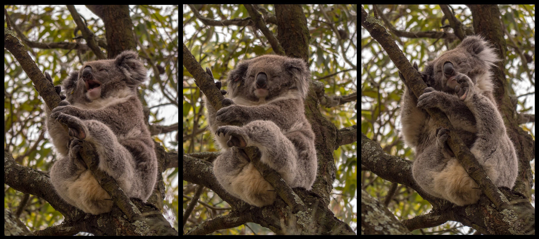 Koalas, near Kennet Bay, Great Ocean Road