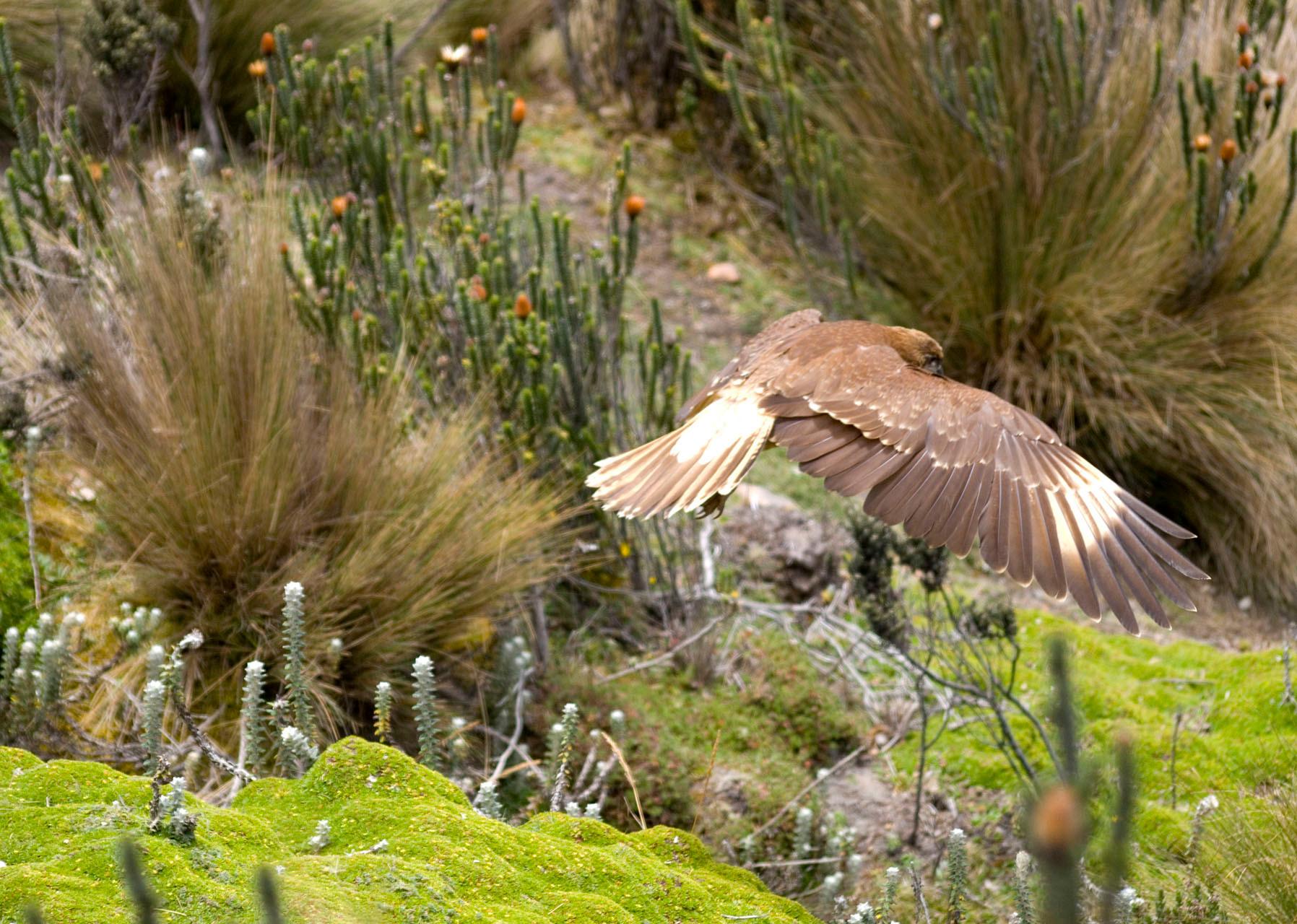 Buzzard [Ecuador, 2009]