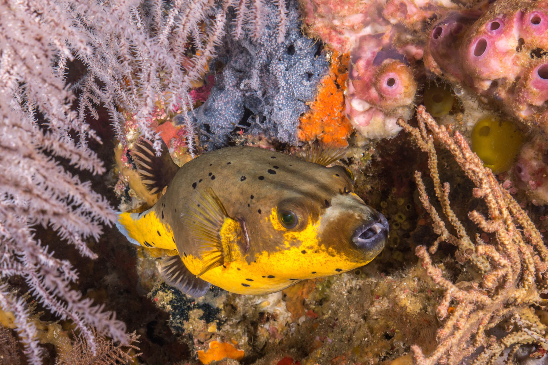 Blackspotted puffer - Olive and orange variation (Arothron nigropunctatus)