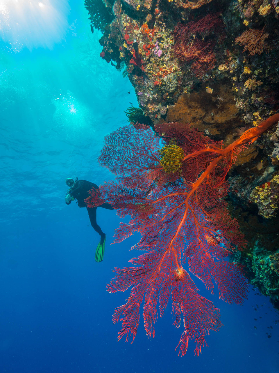 Gorgonia and diver,  Isle des pines