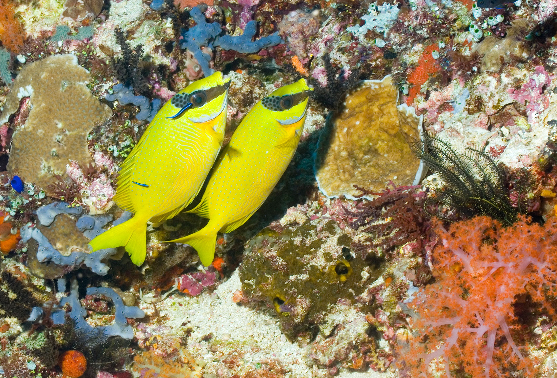 Rabbitfishes, Komodo [Indonesia, 2011]