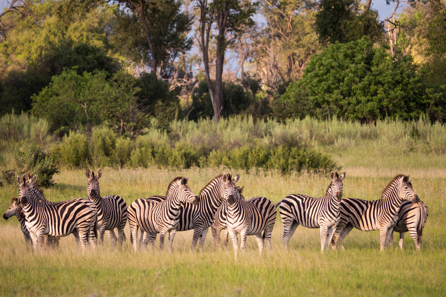 Zebras [Okavango Delta, Botswana, 2015]