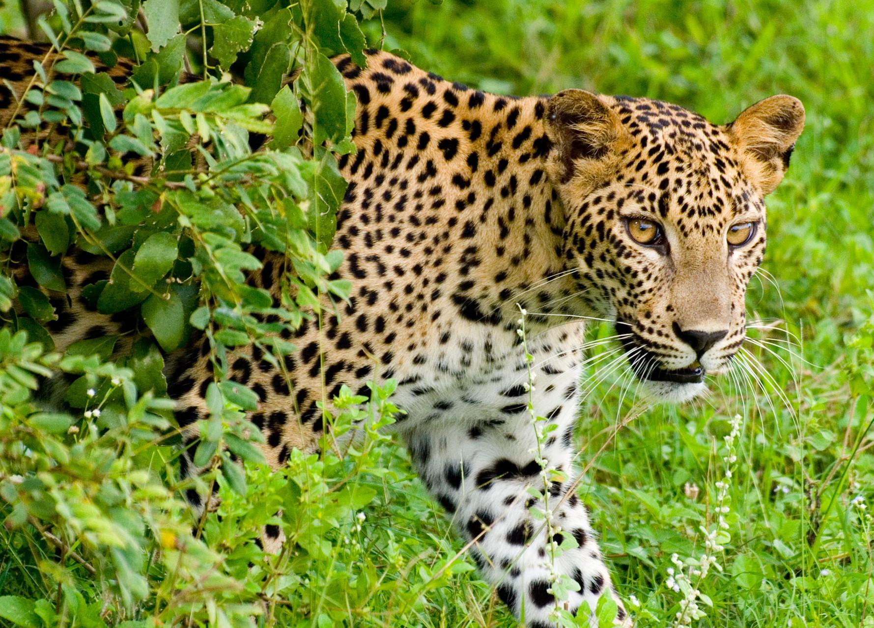Leopard [Yala NP, Sri Lanka, 2012]