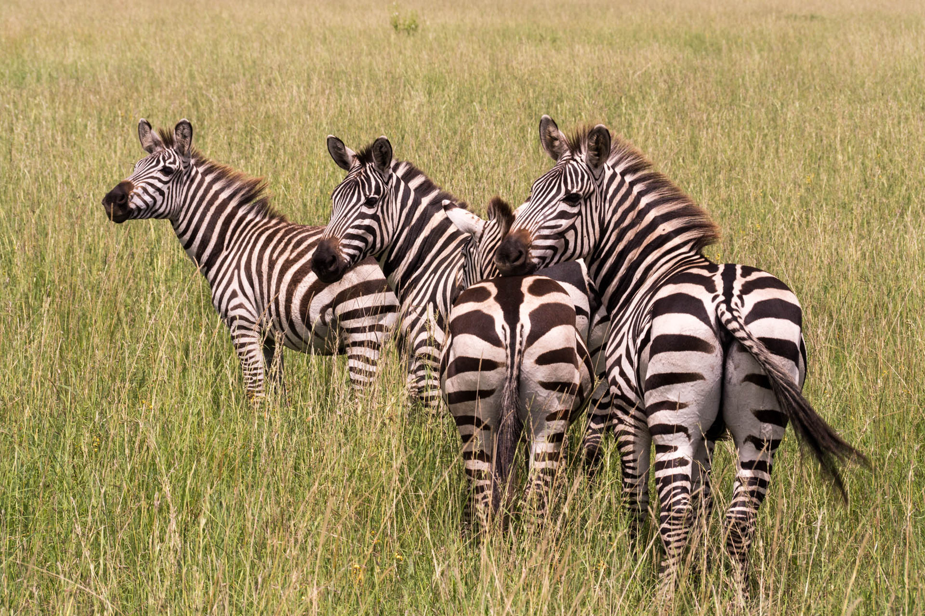 Zebras [Serengeti, Tanzania, 2015]