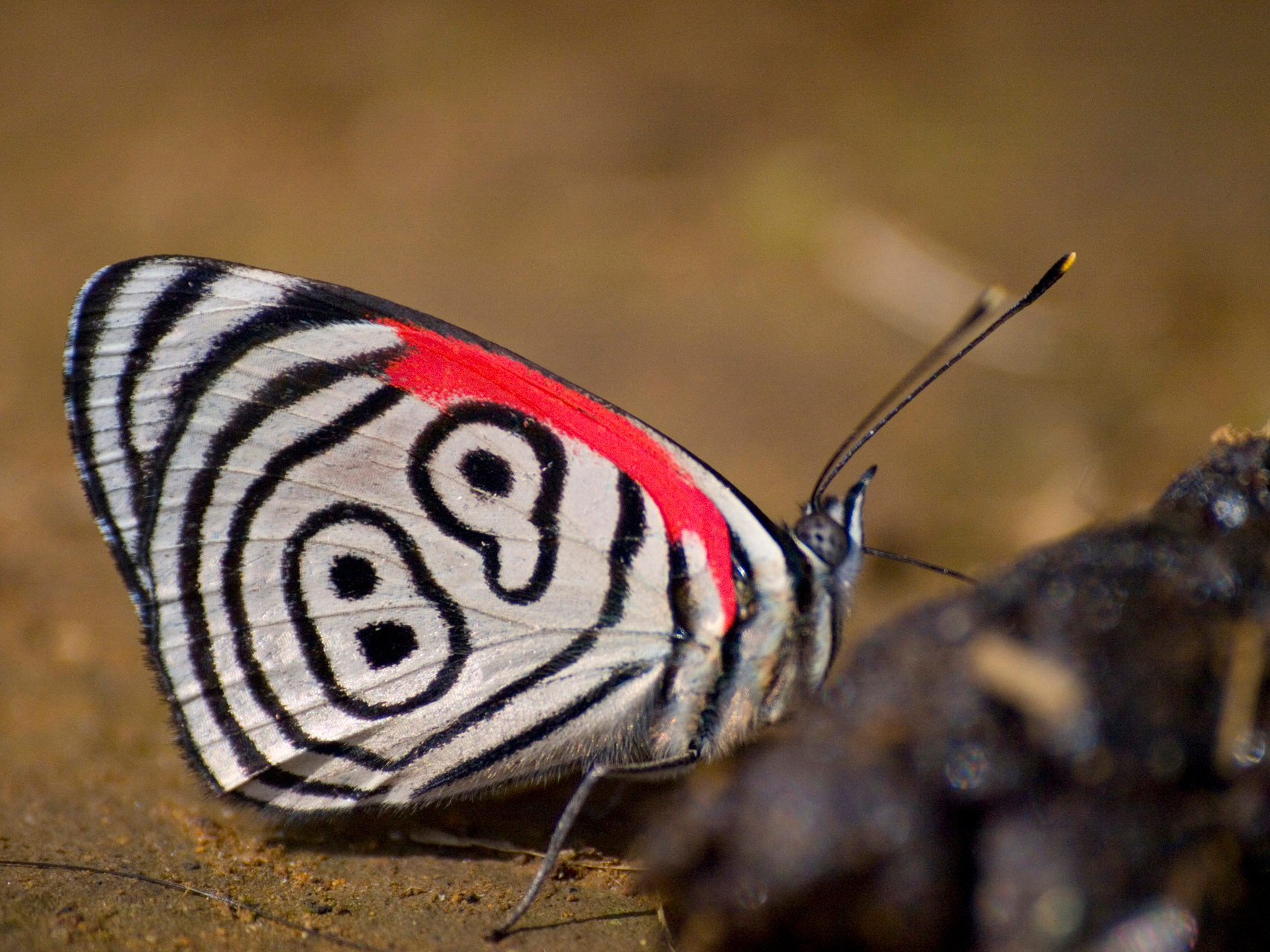 89'98 butterfly (Diaethria phlogea) [Colombia 2009]
