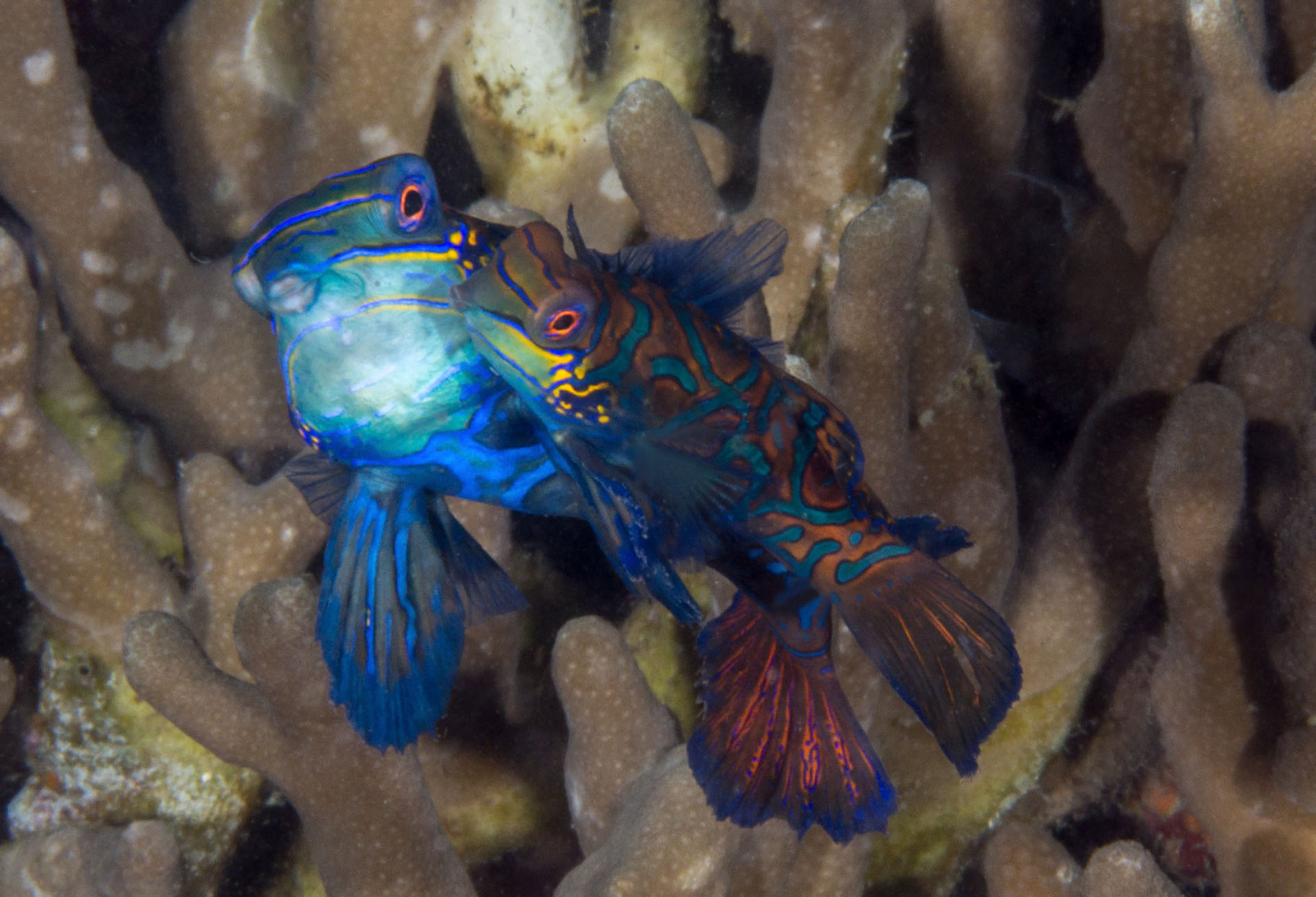 Mating Mandarin fishes