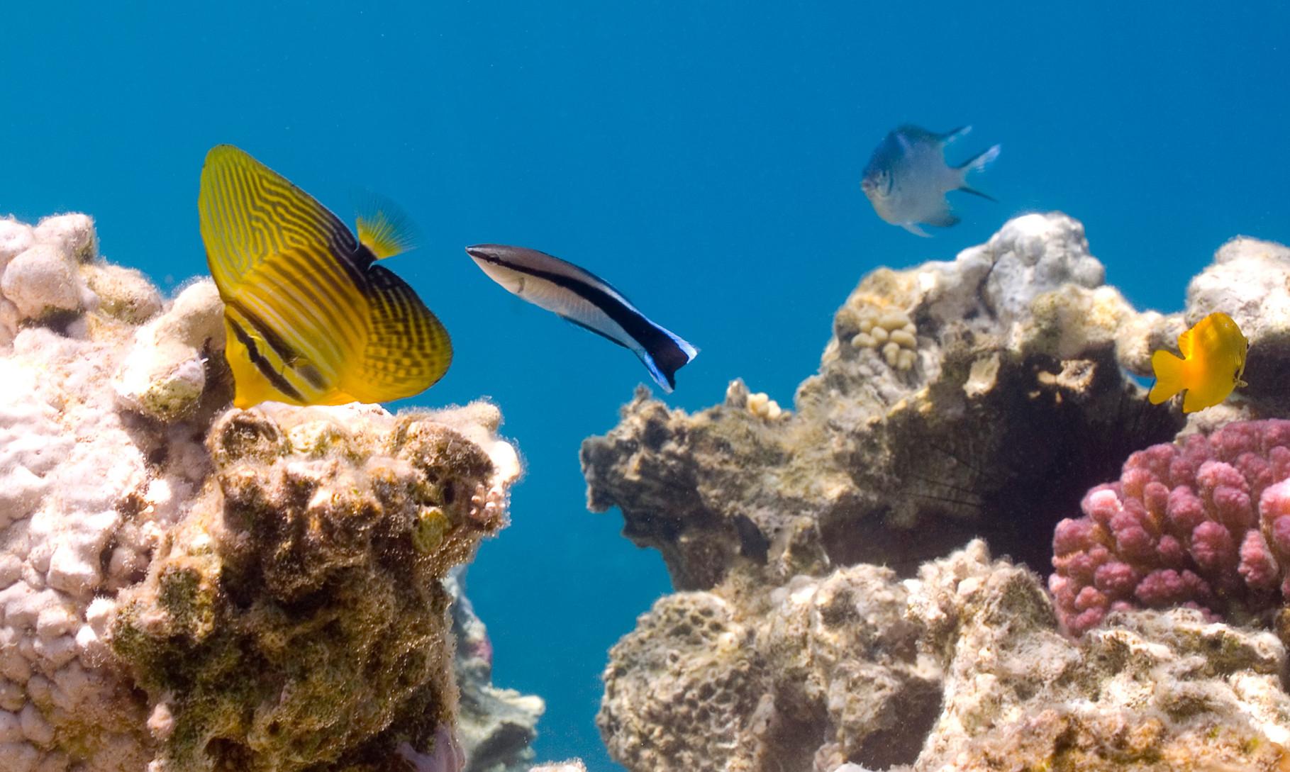 Juvenile Red Sea sailfin tang (Zebrasoma desjardinii)