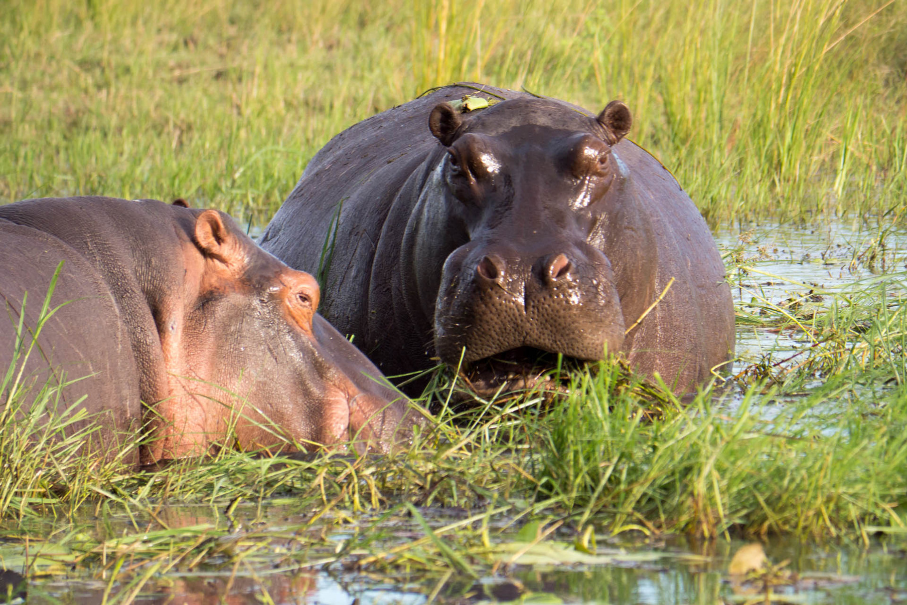 Hippos, Chobe River National park