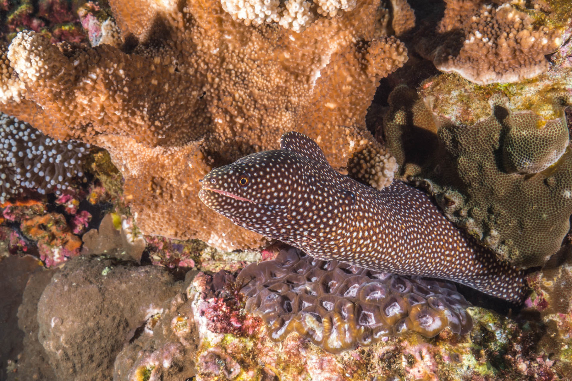 Whitemouth moray (Gymnothorax meleagris), Green Island
