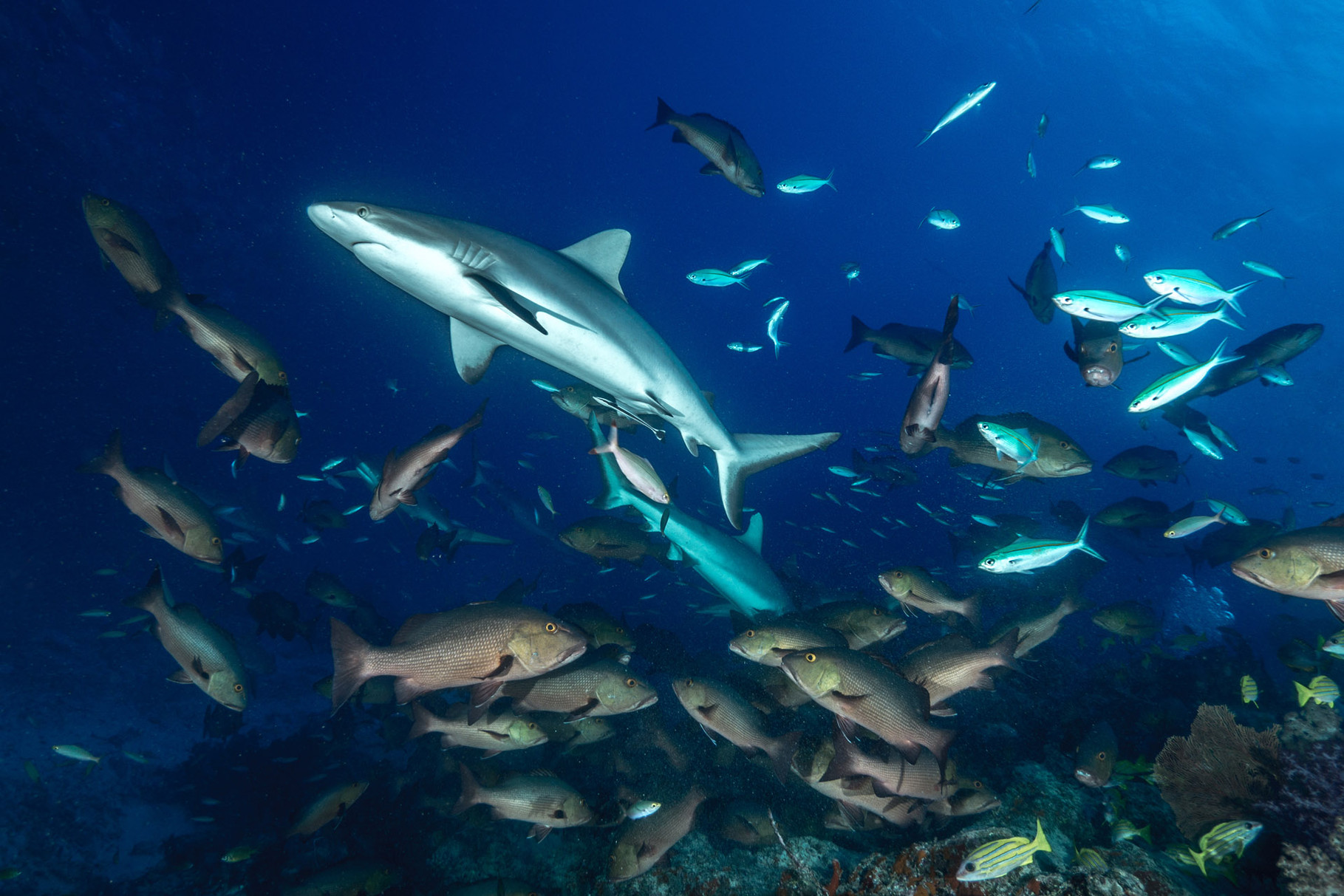 Grey reef sharks