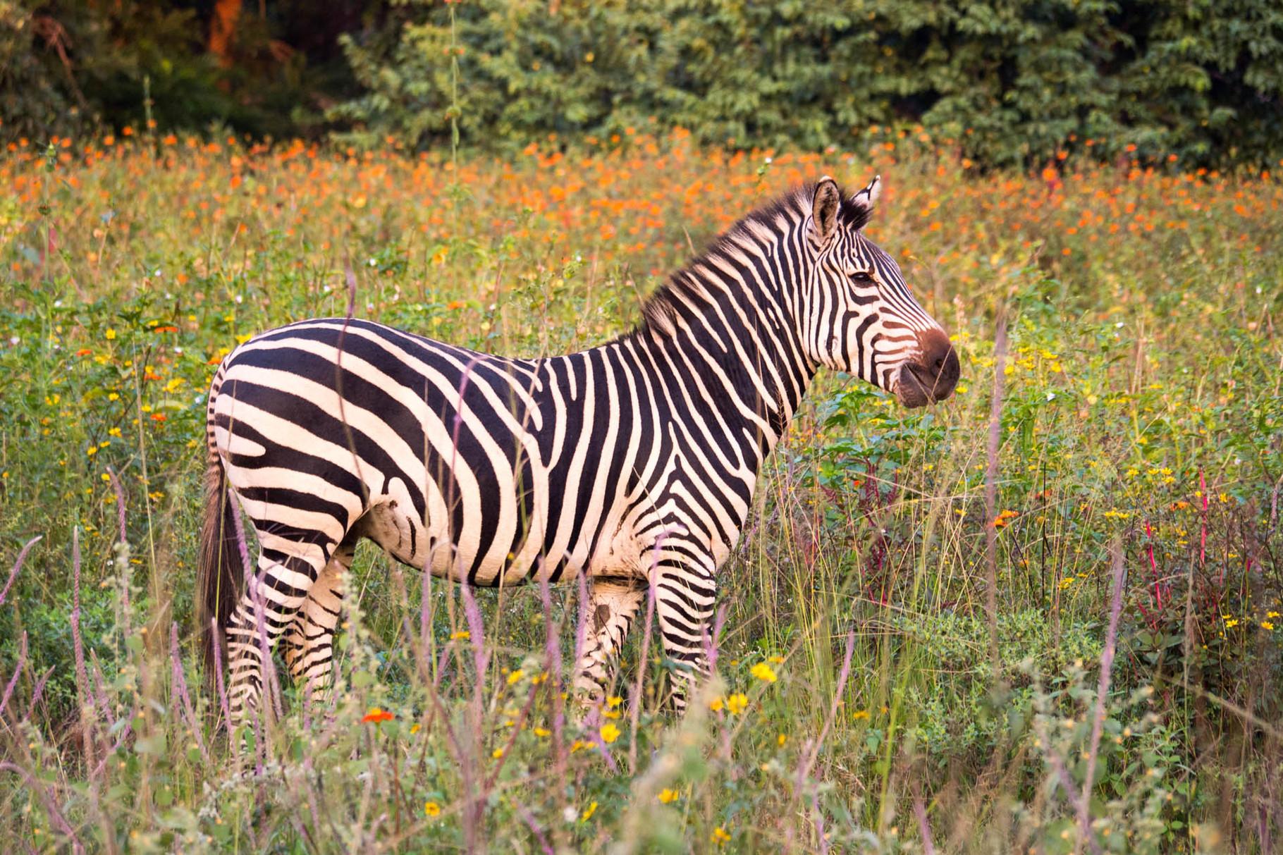 Zebra at Campsite