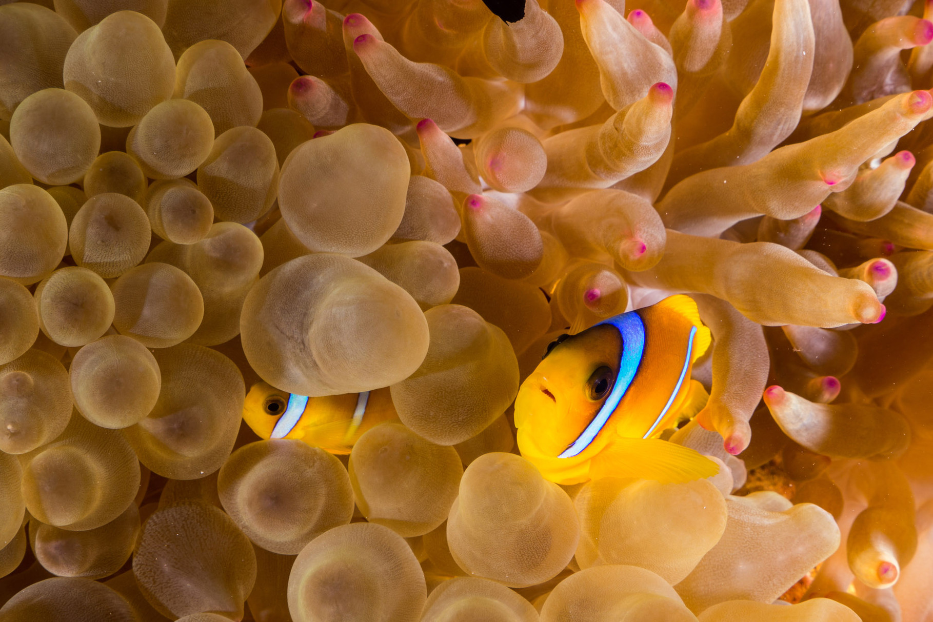 Anemonefish, Elphinstone [Egypt, 2014]
