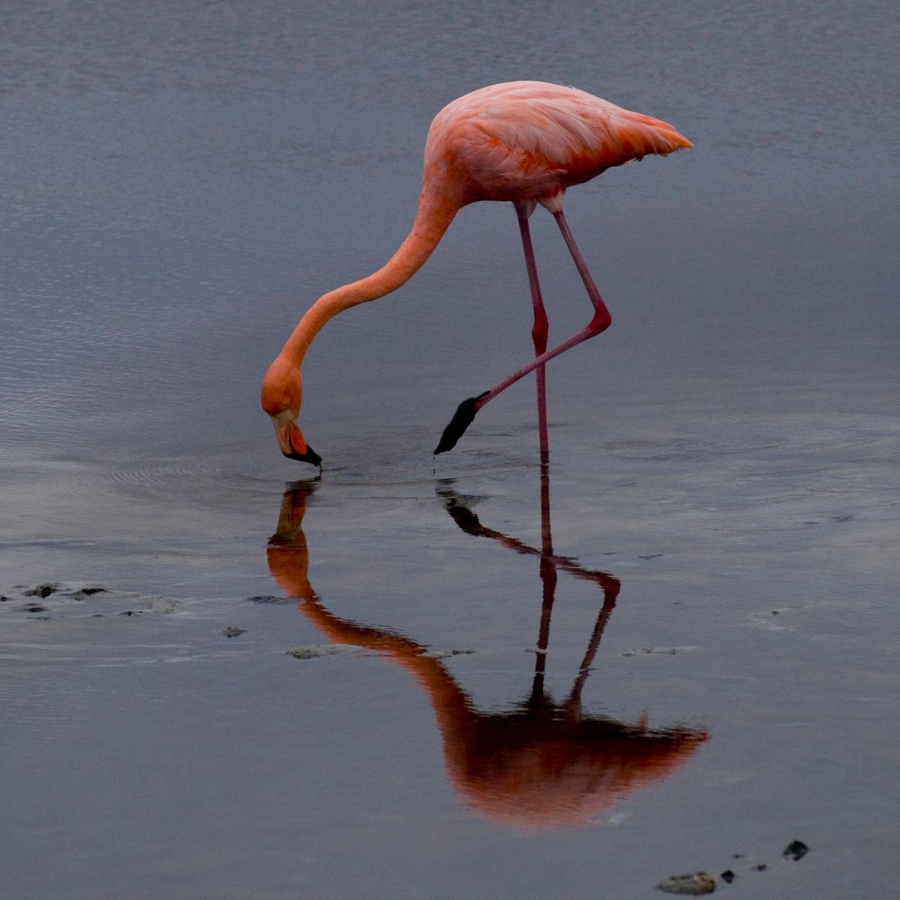 Flamingo [Galapagos, Ecuador, 2009]