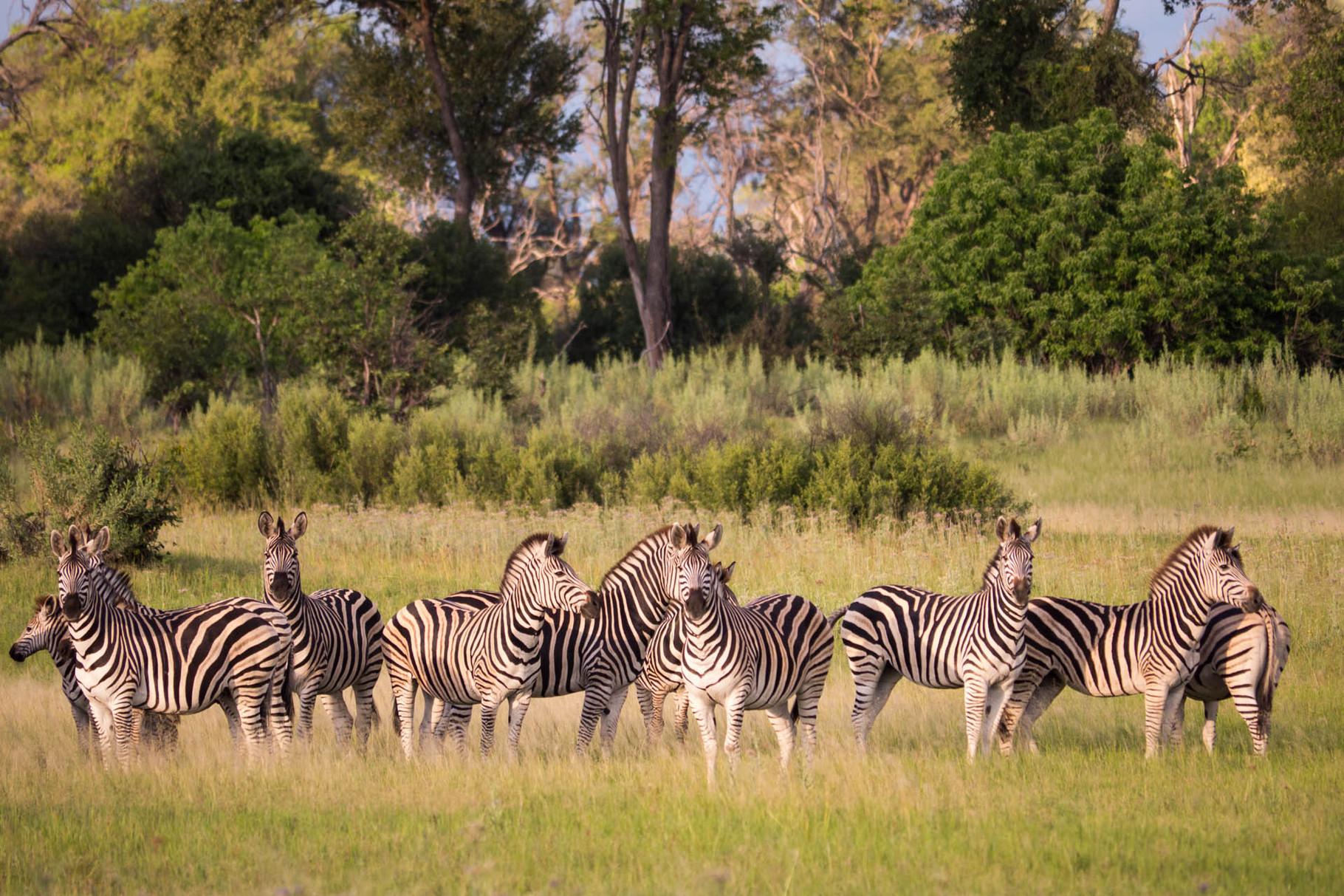 Zebras, Okavango delta