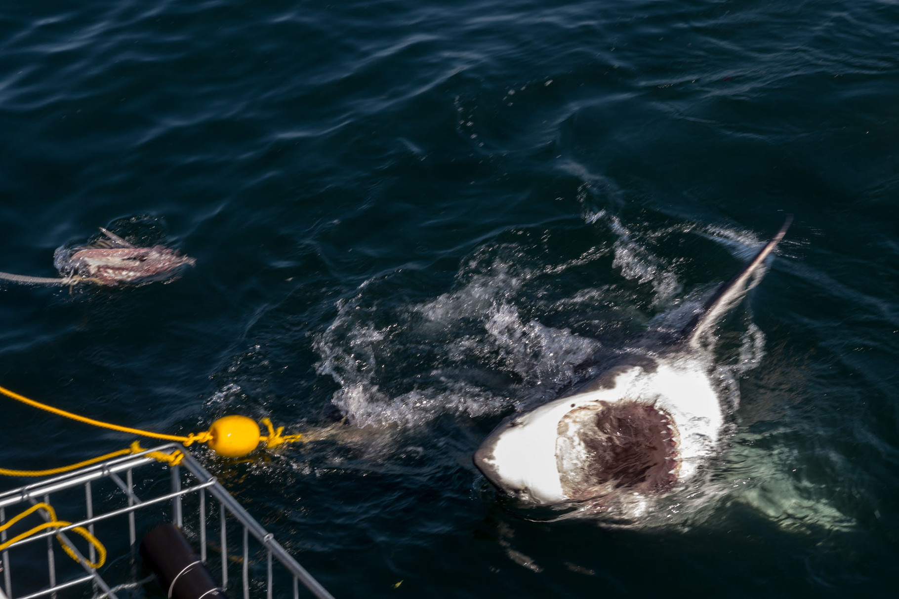 Great white shark dive at Robben Island, near Cape Town