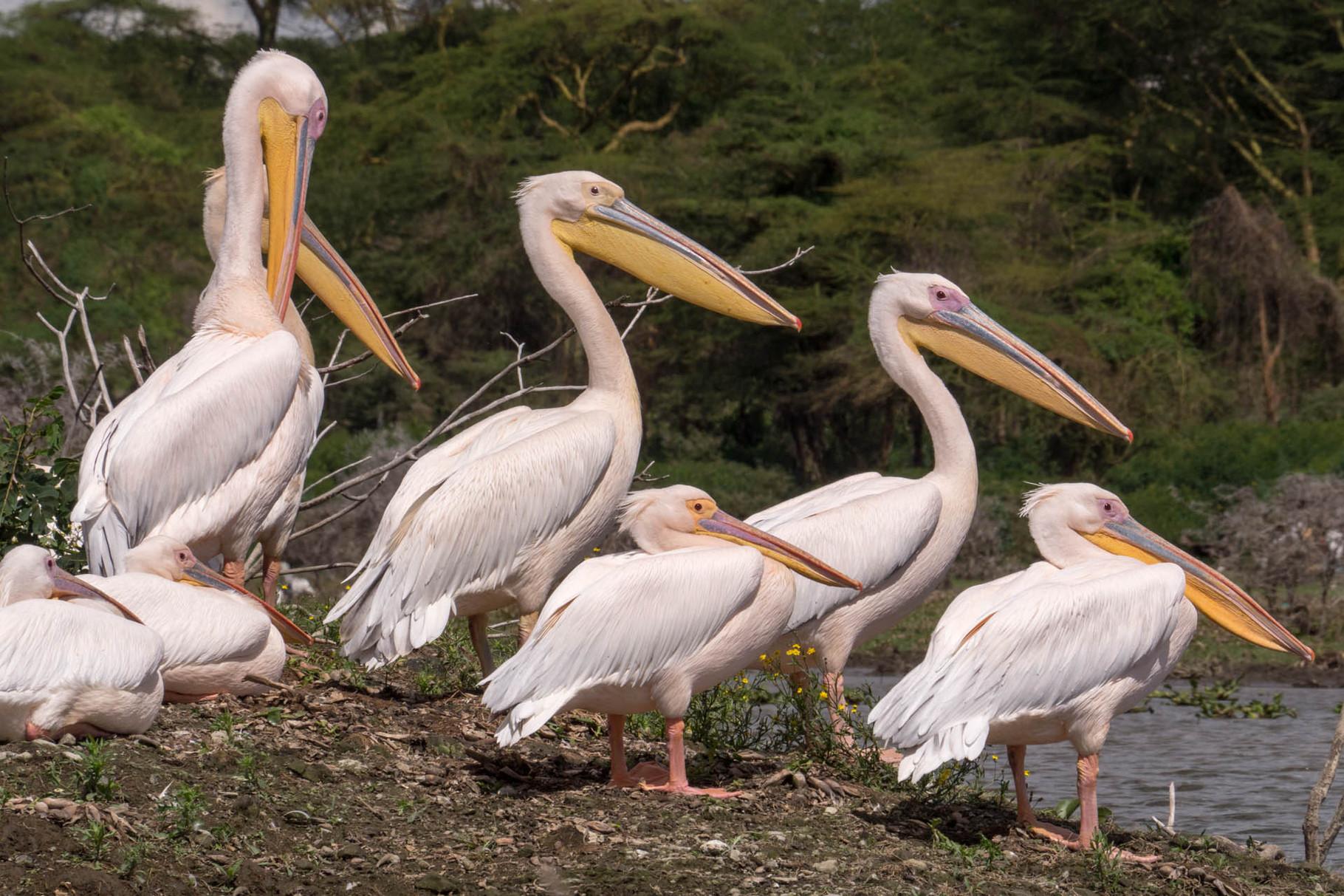 Pelicans, Lake Naivasha