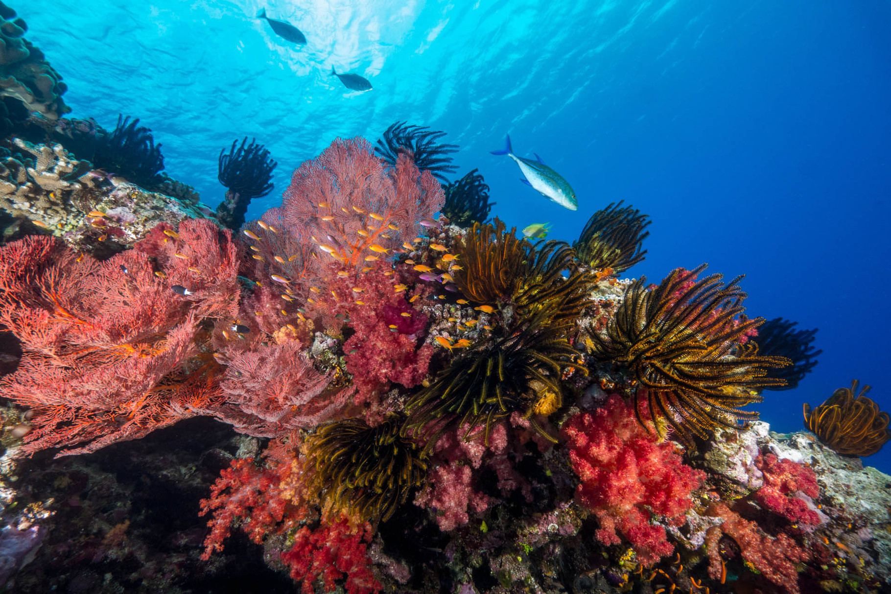 Reef scene with tunas, Lifou